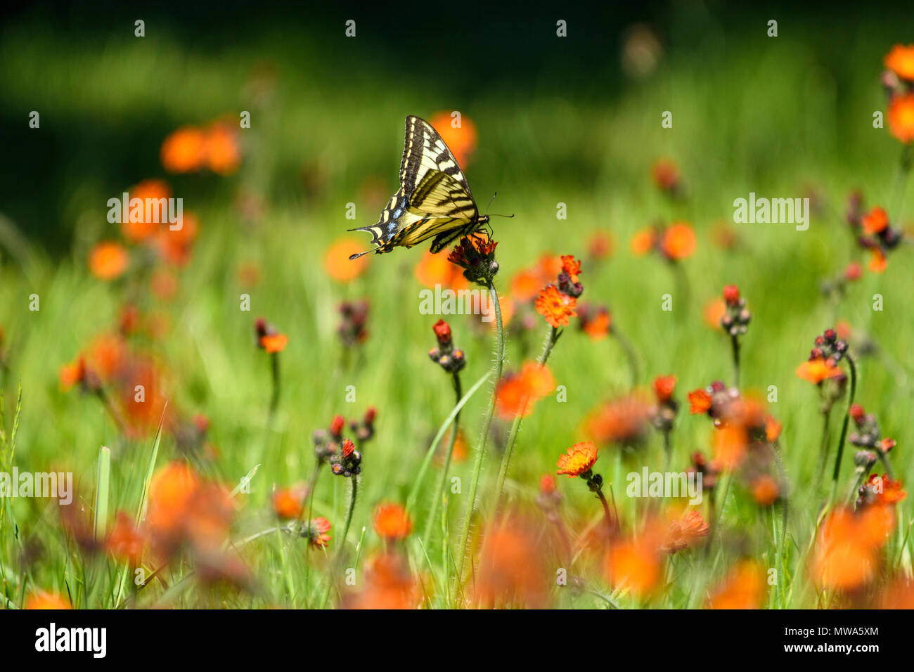 Canadian tiger swallowtail (Papilio canadensis) Nectaring orange hawkweed flowers, Greater Sudbury, Ontario, Canada - Stock Image