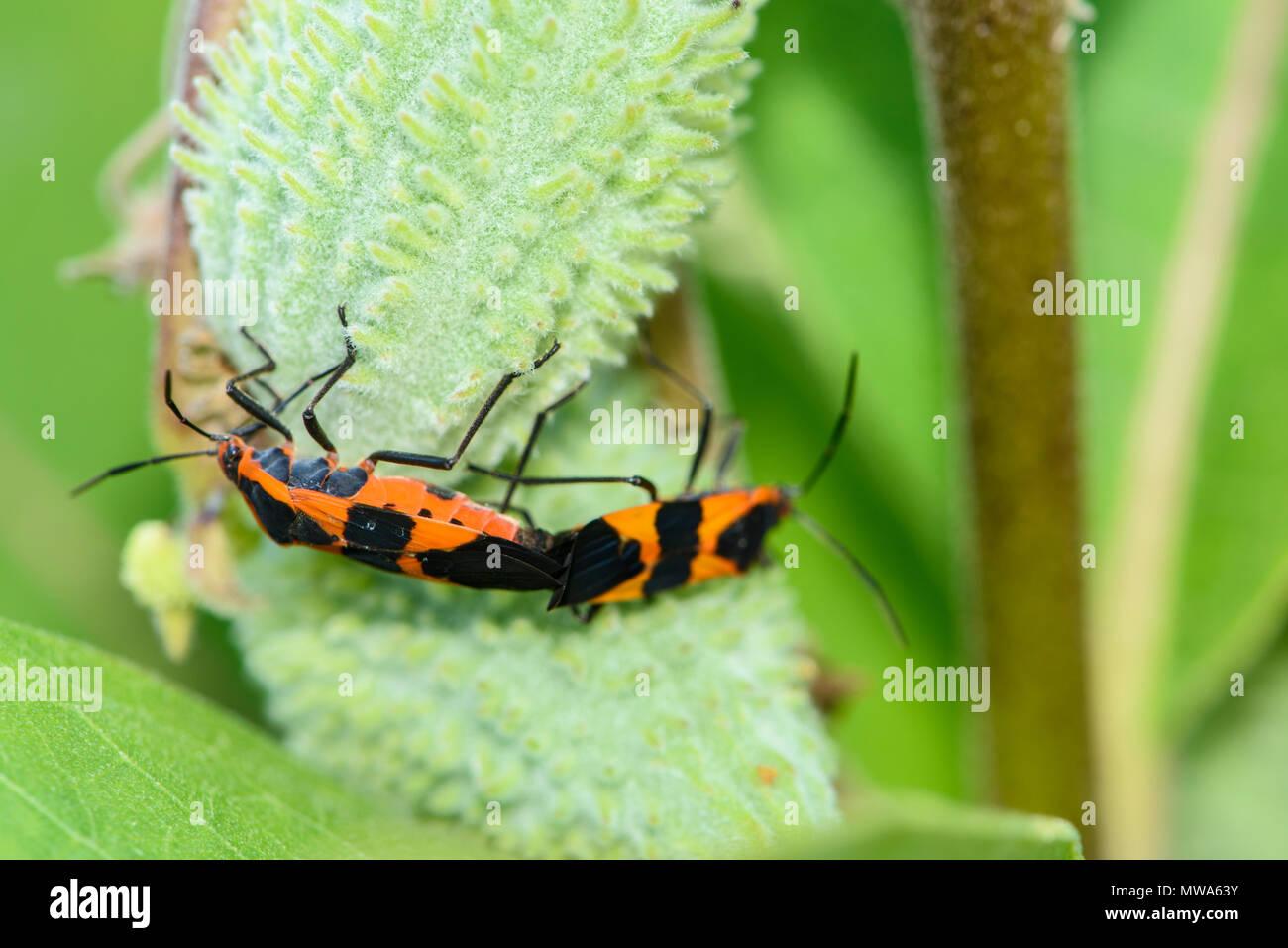 Large milkweed bug (Oncopeltus fasciatus), Greater Sudbury, Ontario, Canada - Stock Image