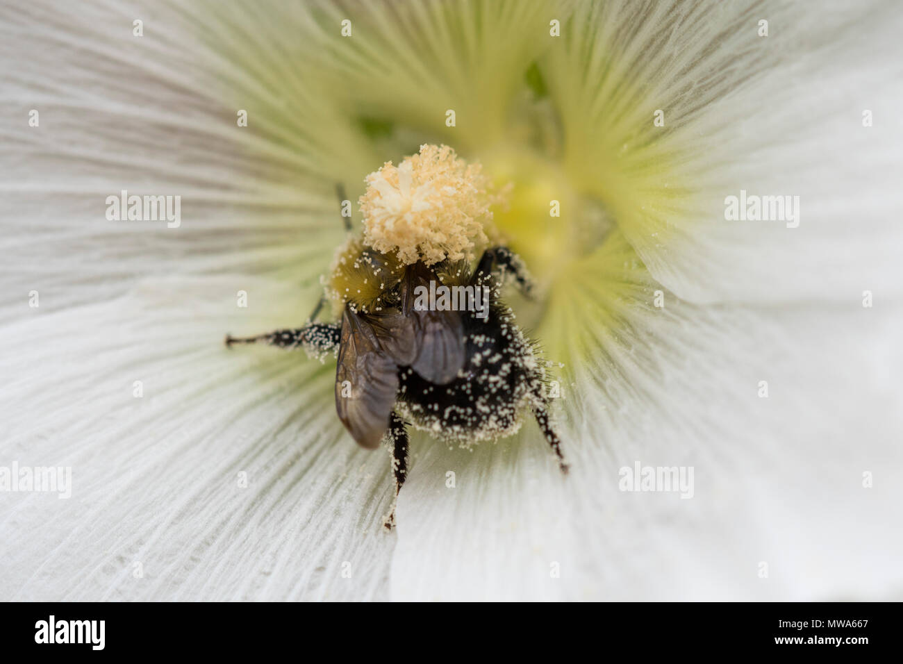 Bumblebeee foraging for nectar and pollen in garden flower, Greater Sudbury, Ontario, Canada - Stock Image