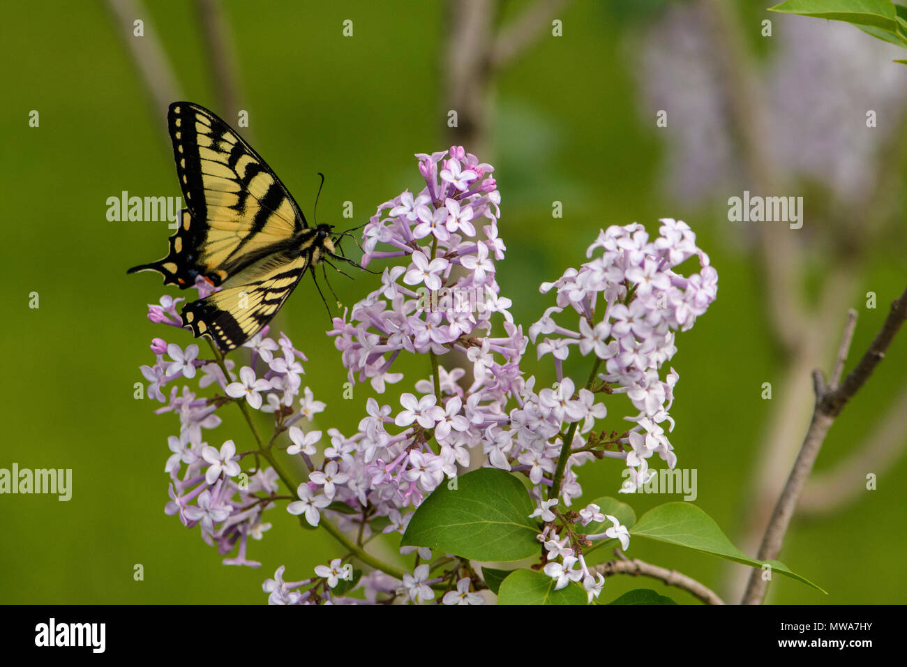 Canadian tiger swallowtail (Papilio canadensis) nectaring lilac flowers, Greater Sudbury, Ontario, Canada - Stock Image