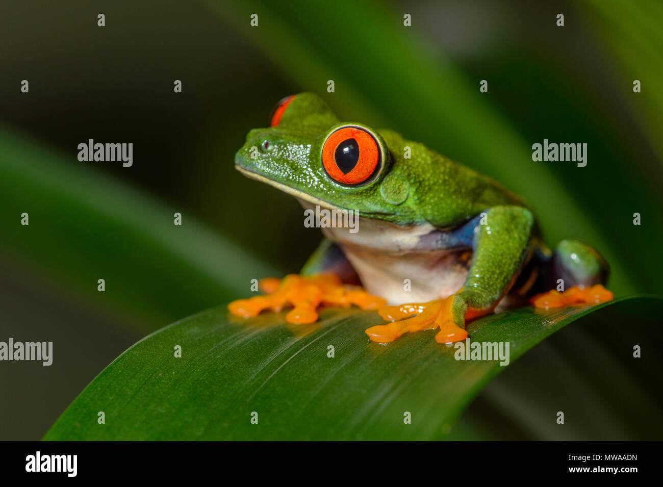 Red-eyed Tree Frog (Agalychnis callidryas), Captive, Reptilia reptile zoo, Vaughan, Ontario, Canada - Stock Image