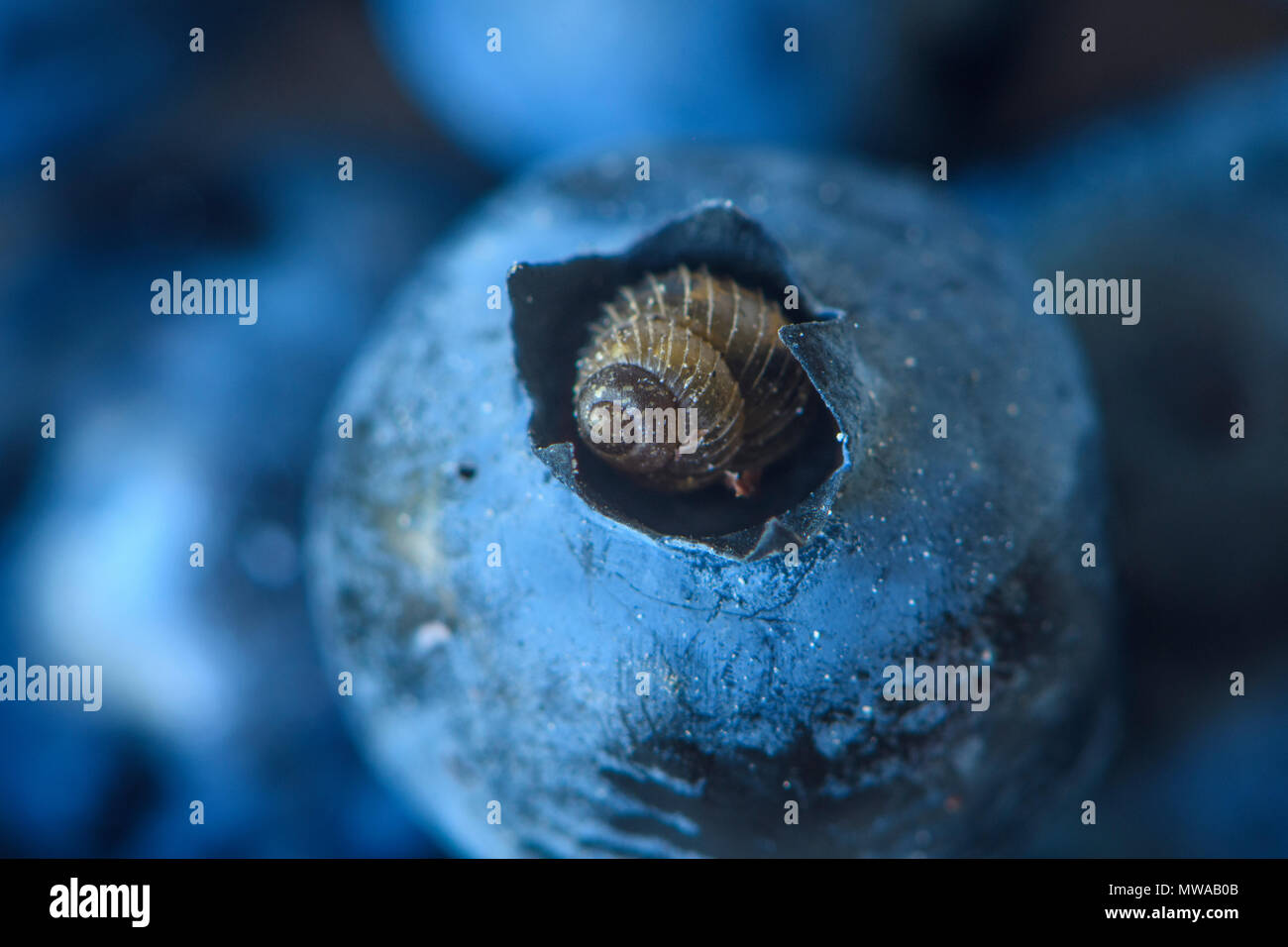 Boreal Top snail (Zoogenetes harpa) resting in the tip of a blueberry, Dowling, Ontario, Canada - Stock Image