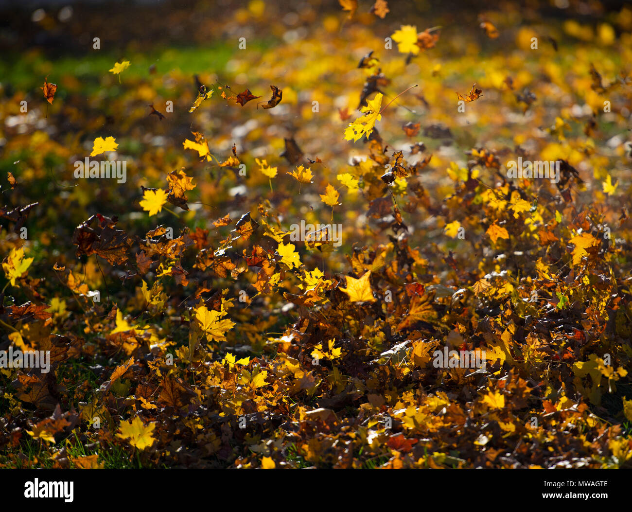 Autumn Leaves Blowing In The Wind Stock Photo Alamy