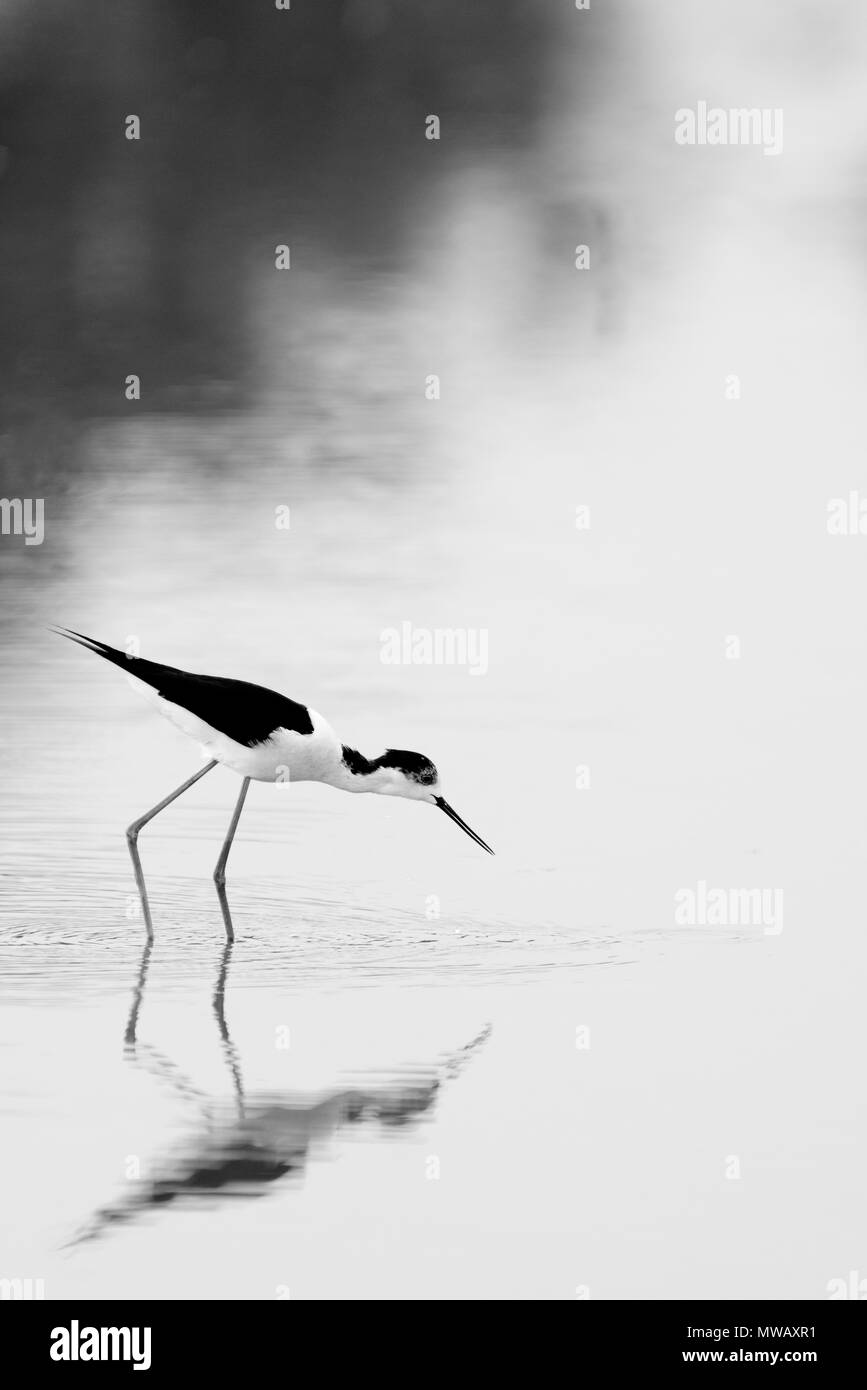 Black-winged stilt bird Stock Photo