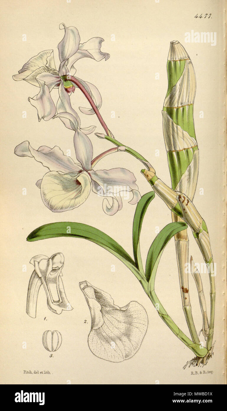 . Illustration of Dendrobium tortile . 1849. Walter Hood Fitch (1817-1892) del. et lith. 158 Dendrobium tortile Stock Photo