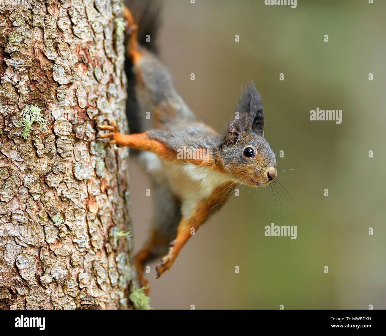 Eurasian red squirrel (Sciurus vulgaris), climbing a tree trunk, Grisons, Switzerland - Stock Image