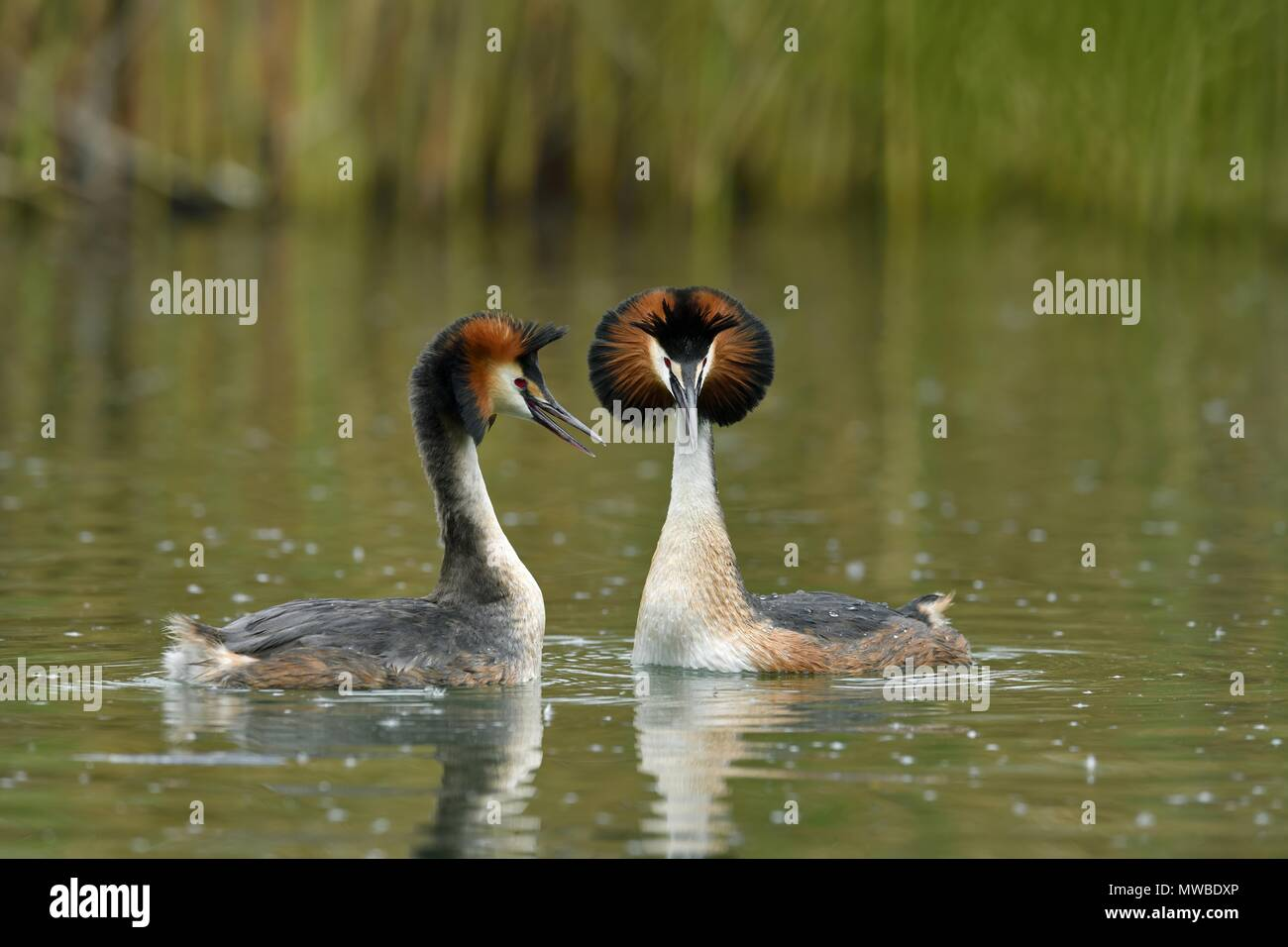 Great crested grebes (Podiceps cristatus), animal couple in the water, courtshipping, Lake Lucerne, Canton Lucerne, Switzerland Stock Photo