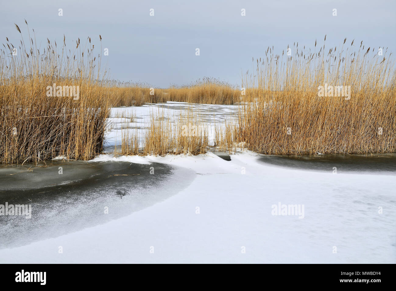 Reed belt at the frozen Lake Neusiedel, Illmitz, Burgenland, Austria - Stock Image