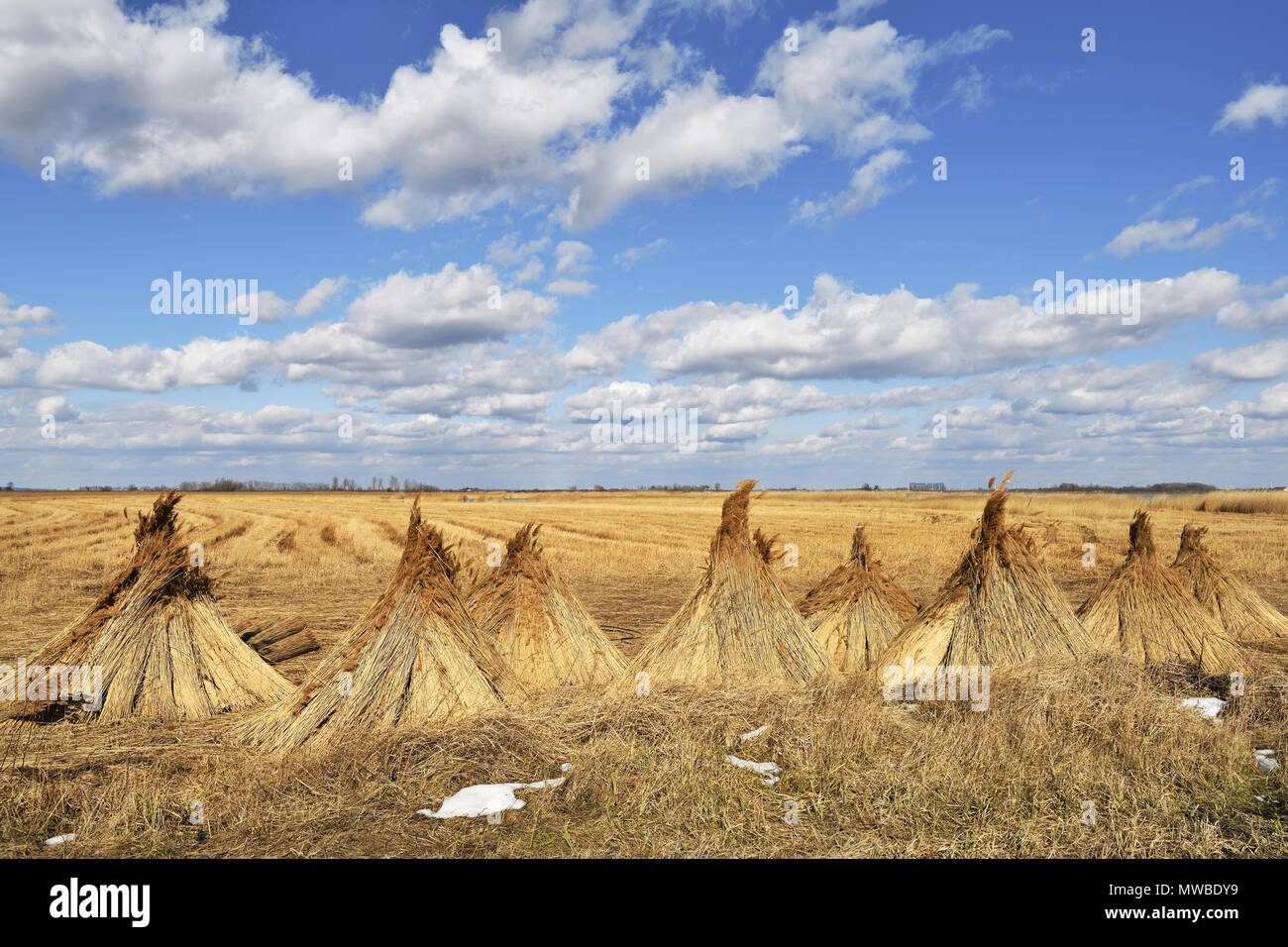 Reed (Poales) set up to dry, cloudy sky, Illmitz, Lake Neusiedel, Burgenland, Austria - Stock Image