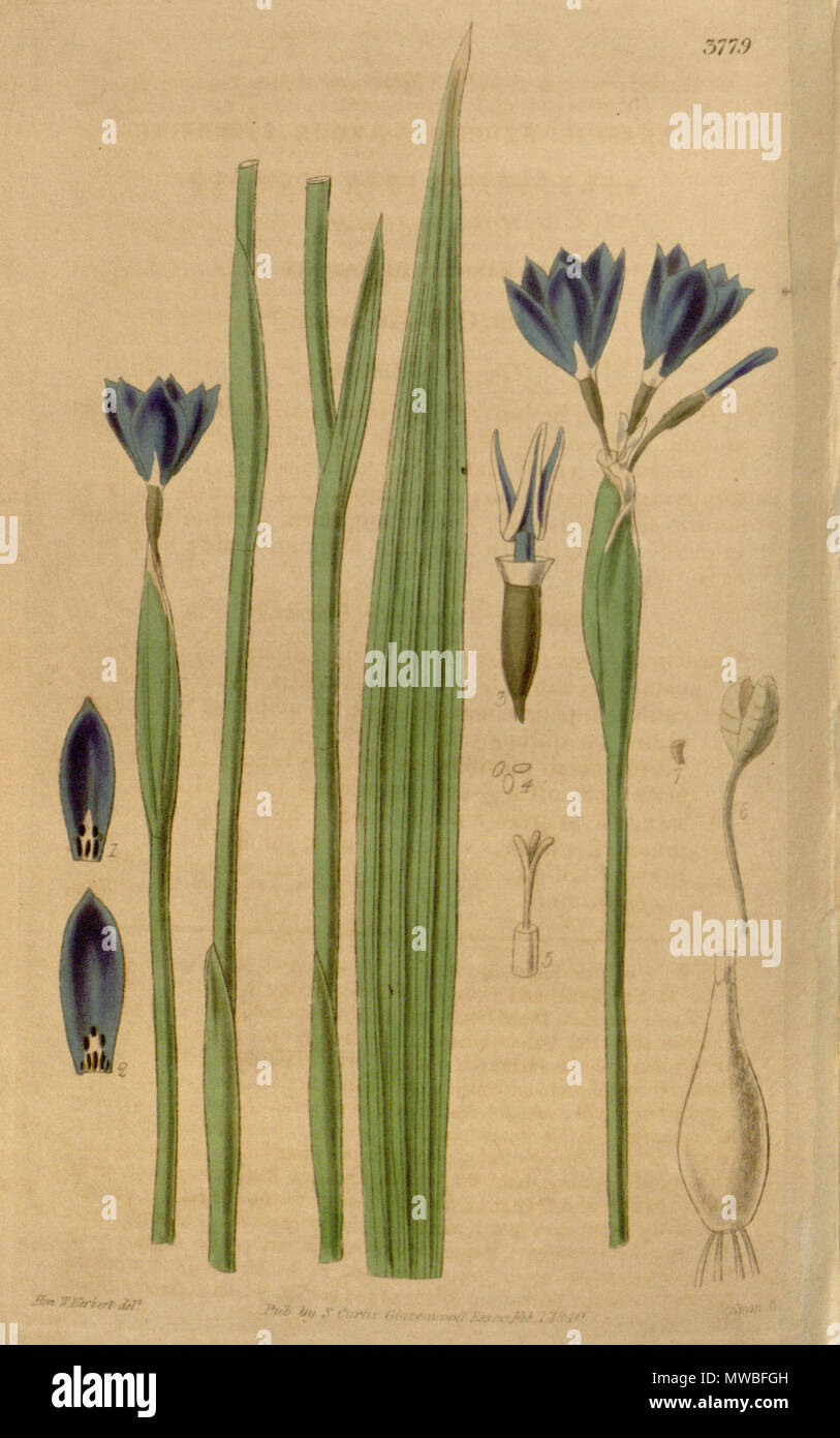 . Illustration of Gelasine elongata . 1840. Walter Hood Fitch (1817-1892) del., Swan sc. 236 Gelasine elongata - Stock Image