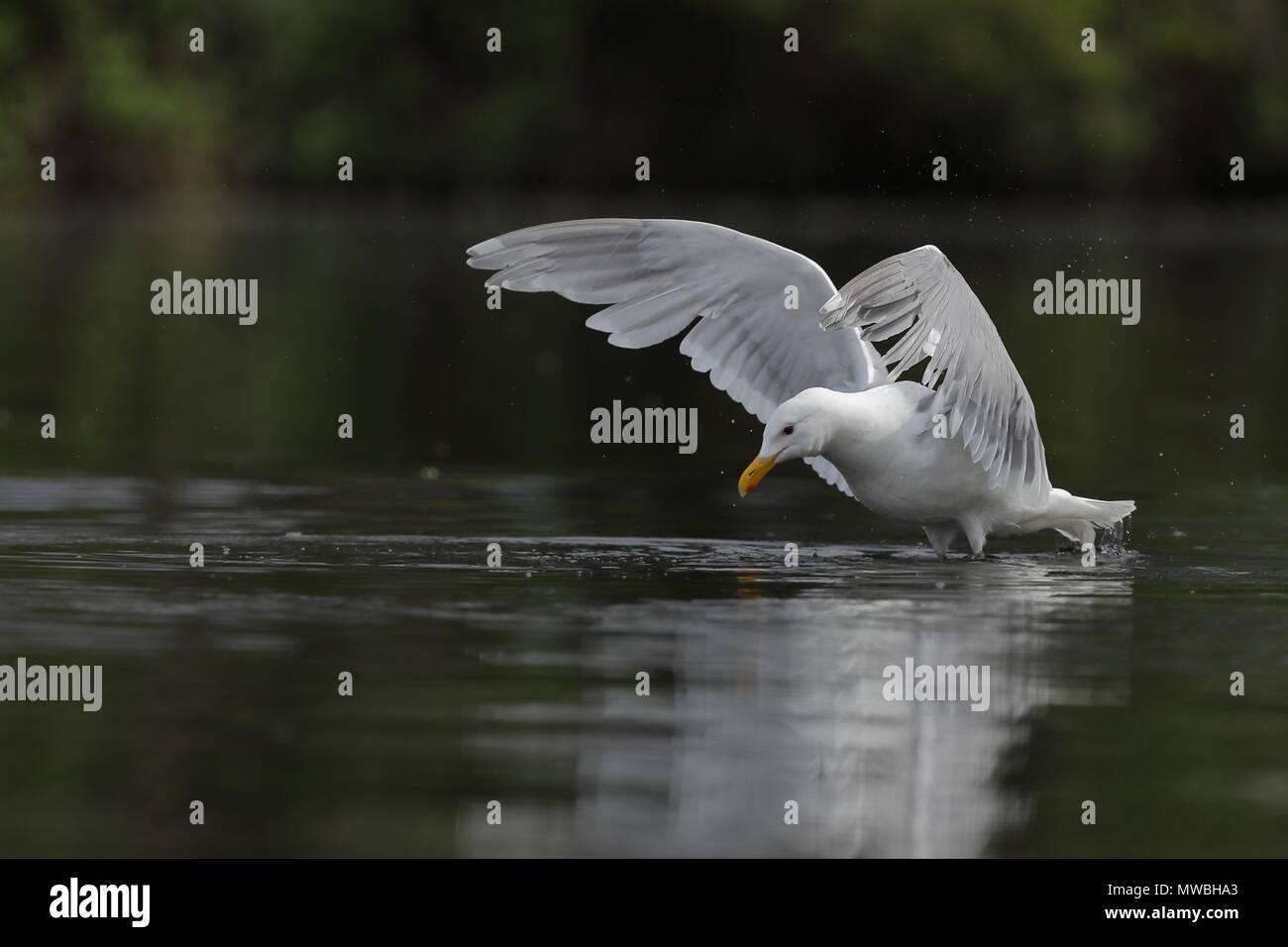 Glaucous-winged Gull - Stock Image