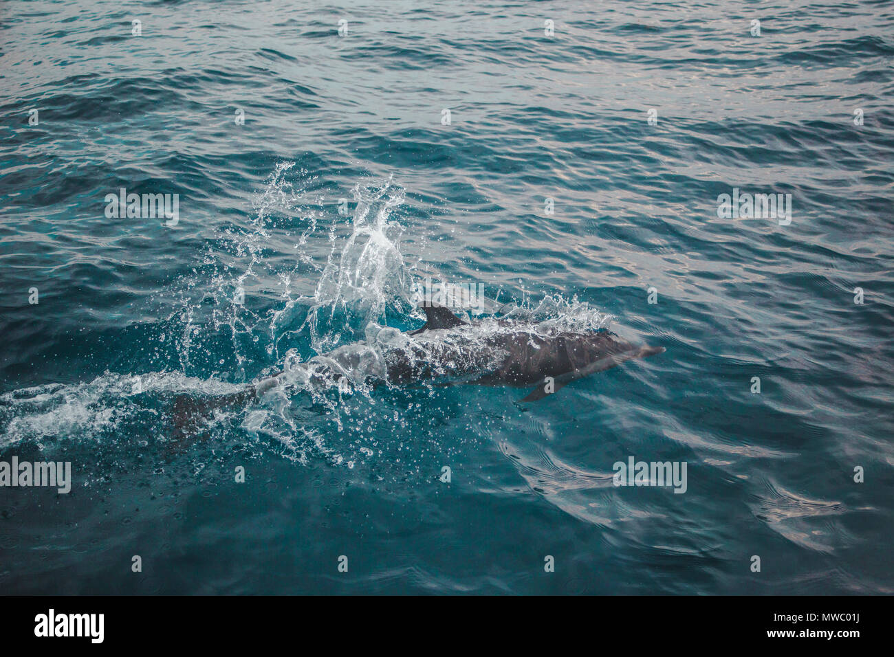 Atlantic dolphin breaking the surface of the water in the Caribbean Sea - Stock Image