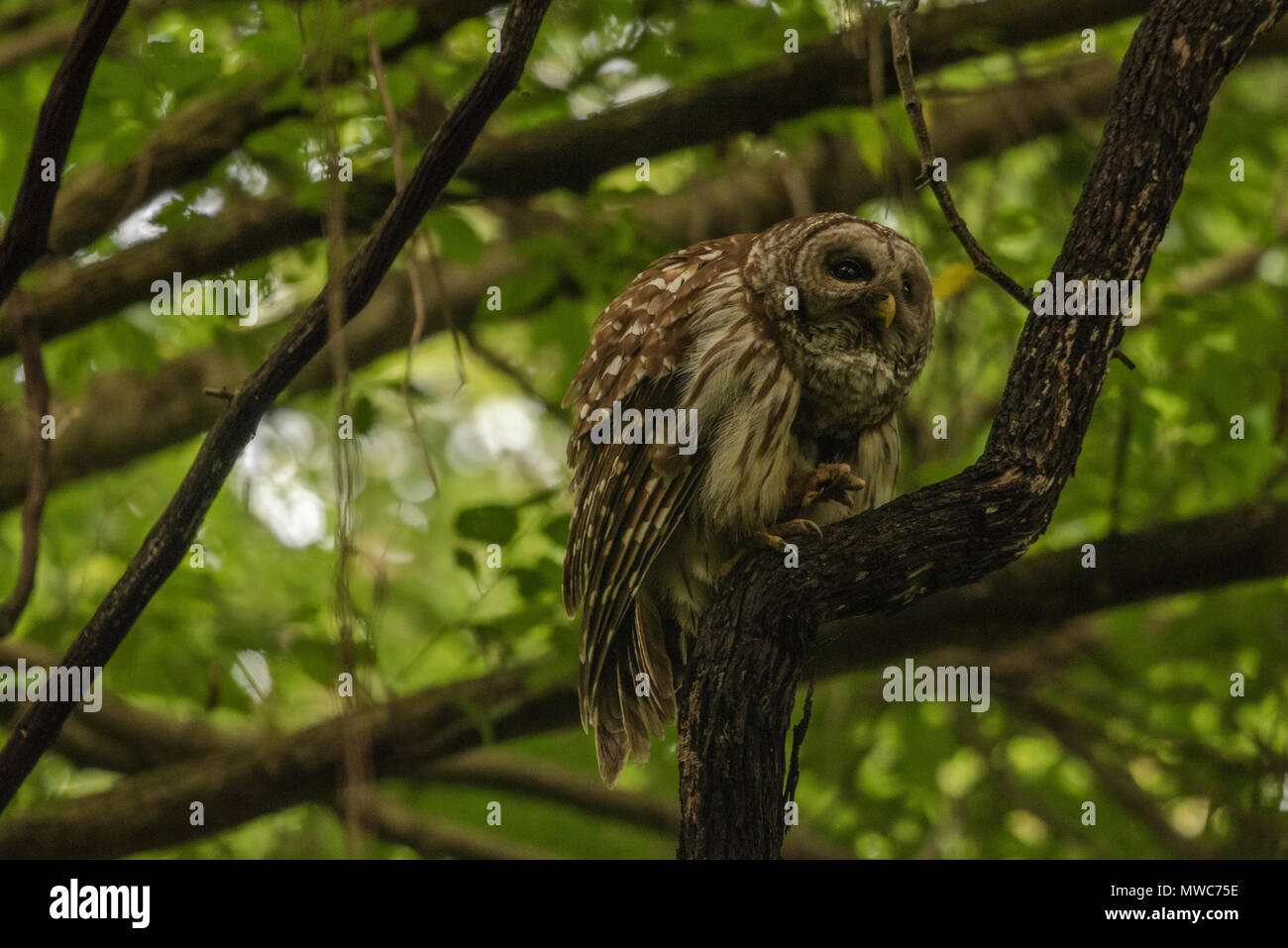A barred owl (Strix varia) sitting in a dark forest at twilight as it waits for darkness to fall. - Stock Image