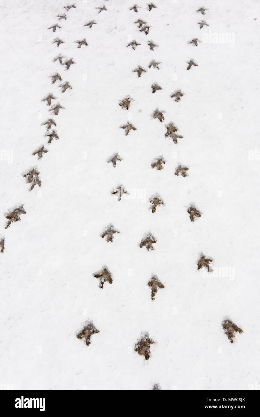 Sharp-tailed Grouse (Tympanuchus phasianellus) (previously Tetrao phasianellus) tracks in fresh snow, Oak Hammock Marsh, Stonewall, Manitoba, Canada - Stock Image