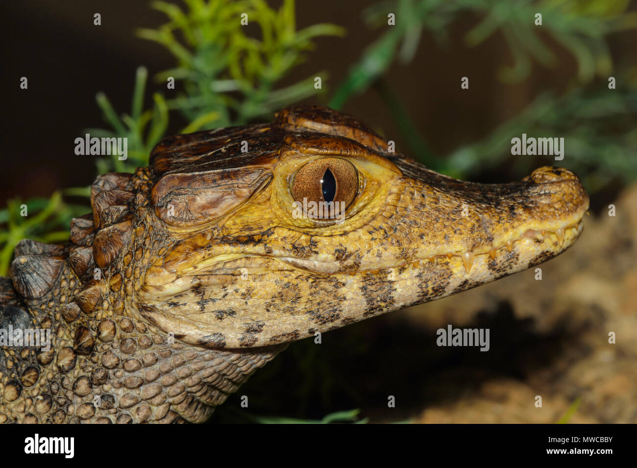 Cuiver's dwarf caiman (Paleosuchus palpebrosus) Captive, zoo