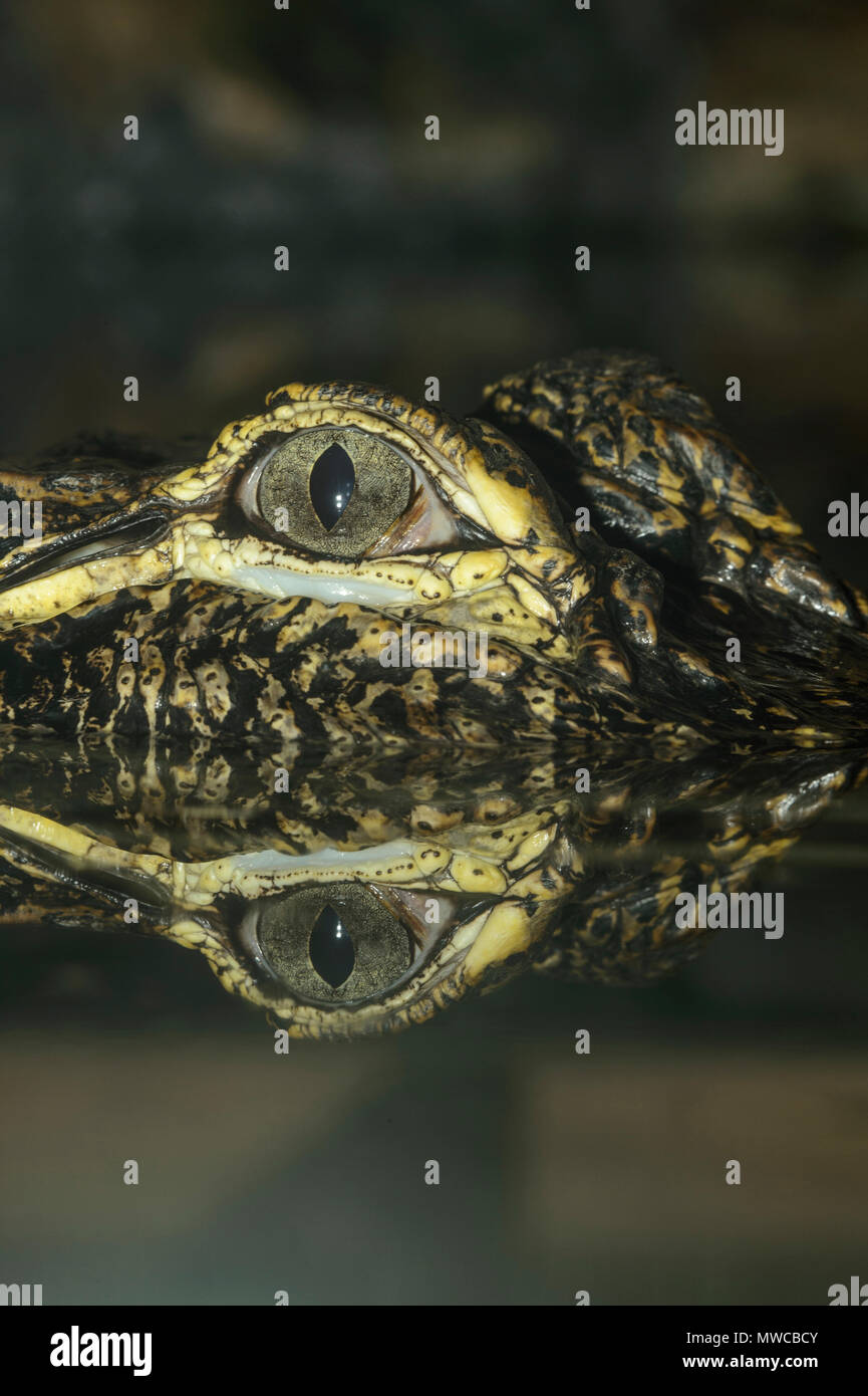 American alligator (Alligator mississipiensis), Captive, Reptilia reptile zoo, Vaughan, Ontario, Canada - Stock Image