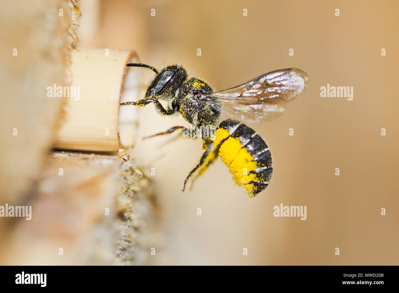 Female solitary resin bee (Heriades crenulatus) approaches an insect hotel to bring yellow pollen of aster flowers to its nest in a hollow reed stalk. - Stock Image