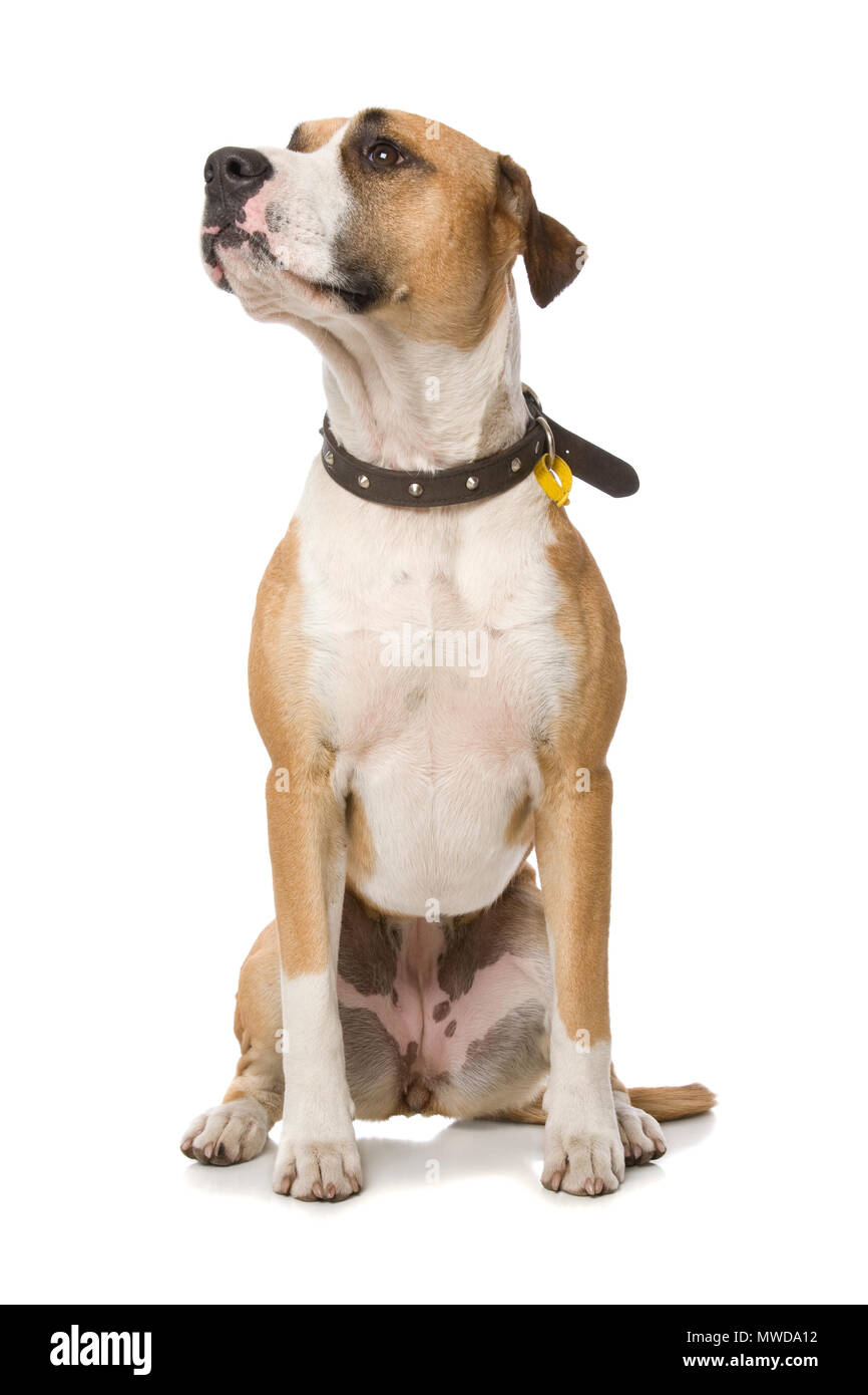 A dog sitting obediently for a treat. - Stock Image