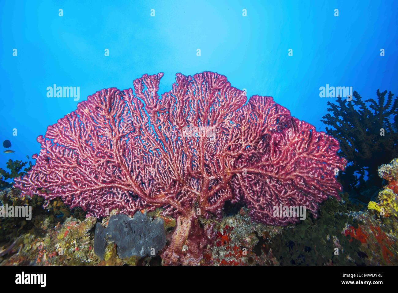 Indian Ocean, Maldives. 5th Apr, 2018. Cherry Blossom Coral or Godeffroy's Soft Coral Credit: Andrey Nekrasov/ZUMA Wire/ZUMAPRESS.com/Alamy Live News Stock Photo