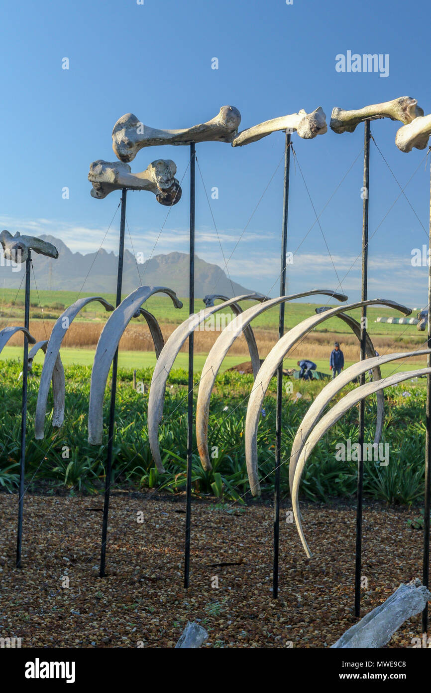Hippopotomus skeleton in the stellenbosch farming landscape on the garden route, south africa - Stock Image