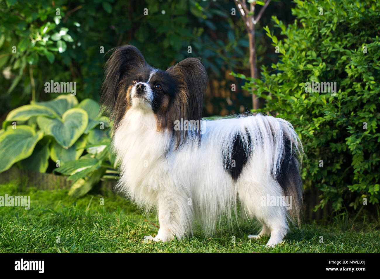 dog of the breed papillon Stock Photo ...