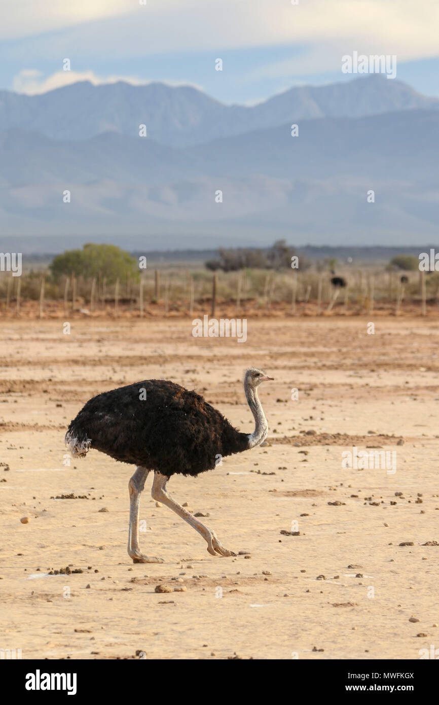 Ostrich in the landscape at Oudtshoorn on the garden route, south africa - Stock Image