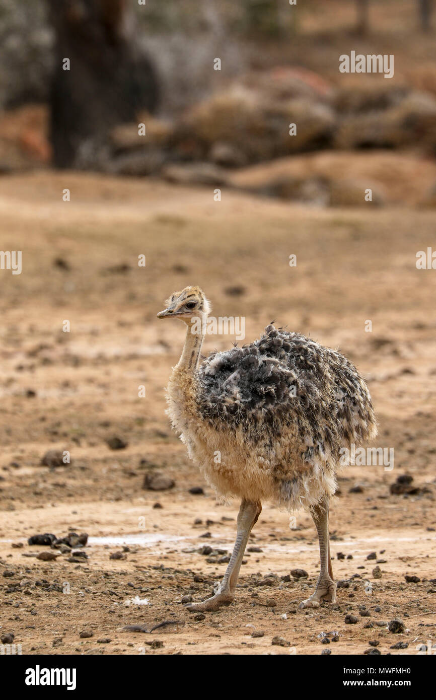 Ostrich in Oudtshoorn on the tourist garden route of south africa - Stock Image