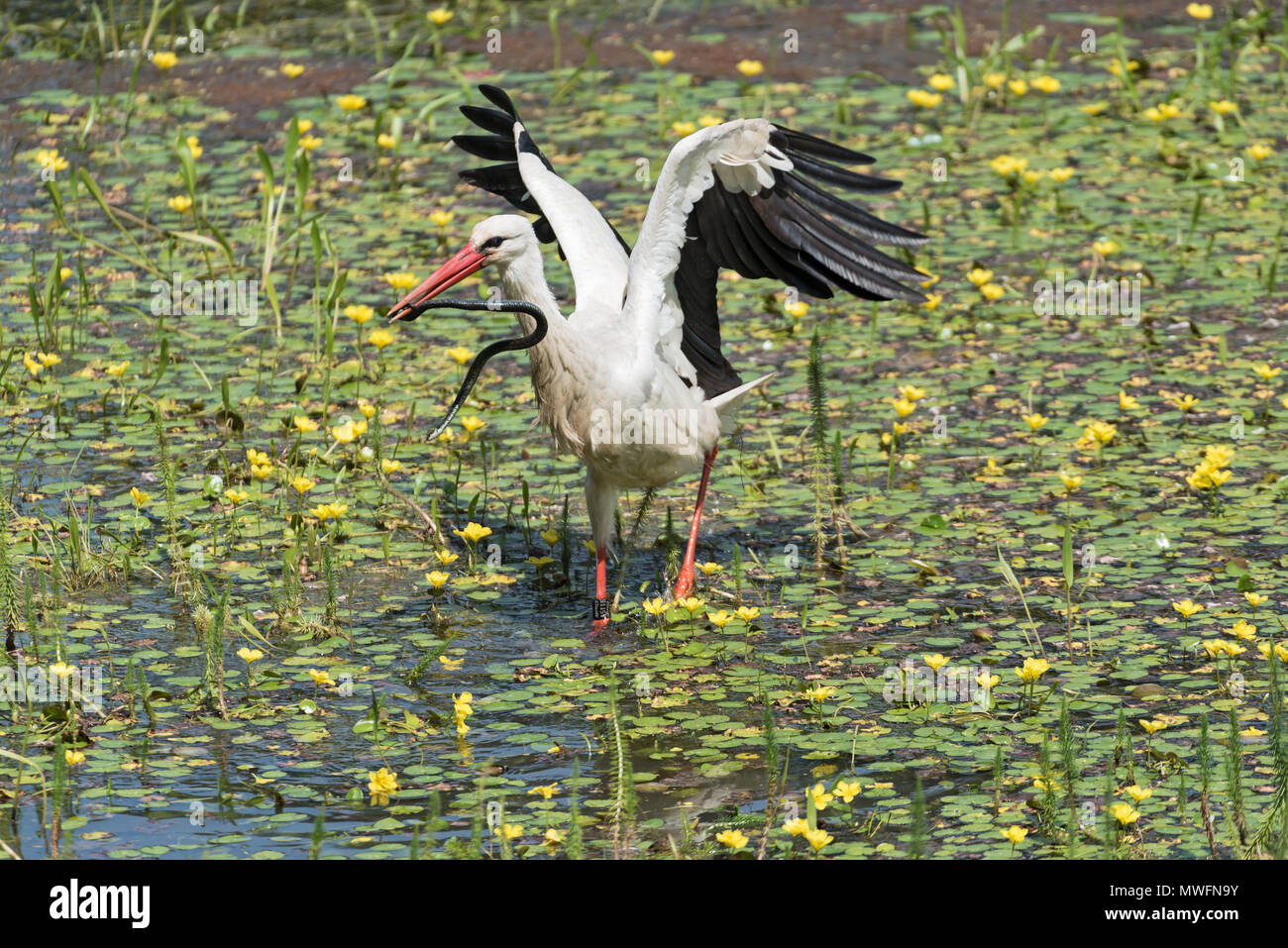 a white stork (Ciconia ciconia) catches and eats snake in the nature reserve kuehkopf, hesse, germany - Stock Image