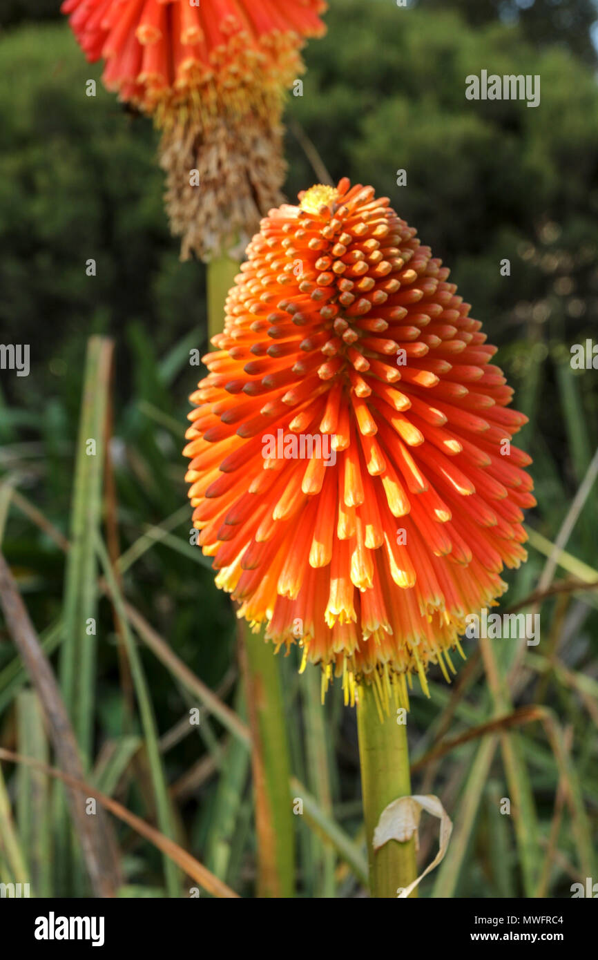 Red hot poker flowering in a garden on the garden route, , south africa - Stock Image