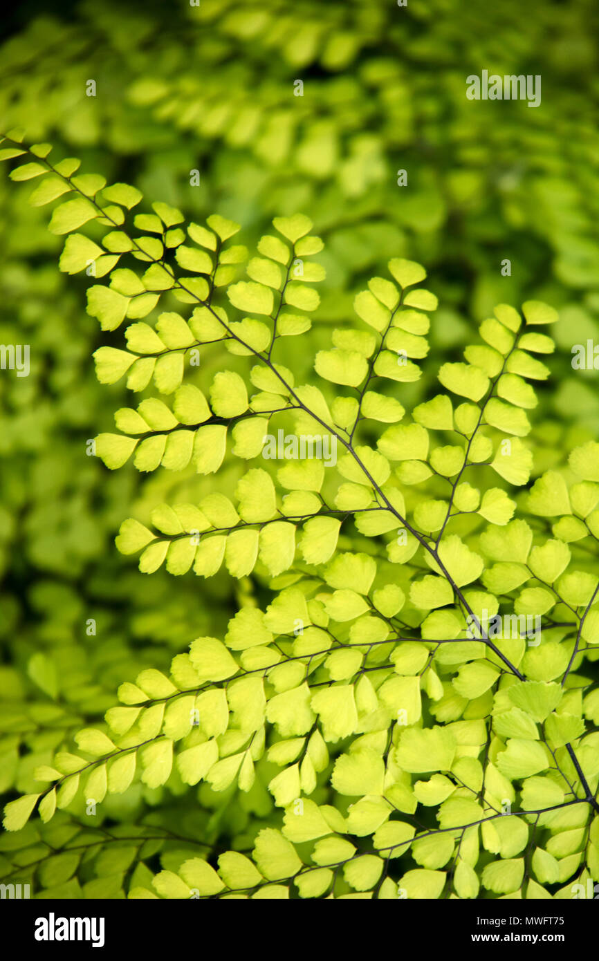 Adiantum Venustum, Himalayan Maidenhair Fern Stock Photo