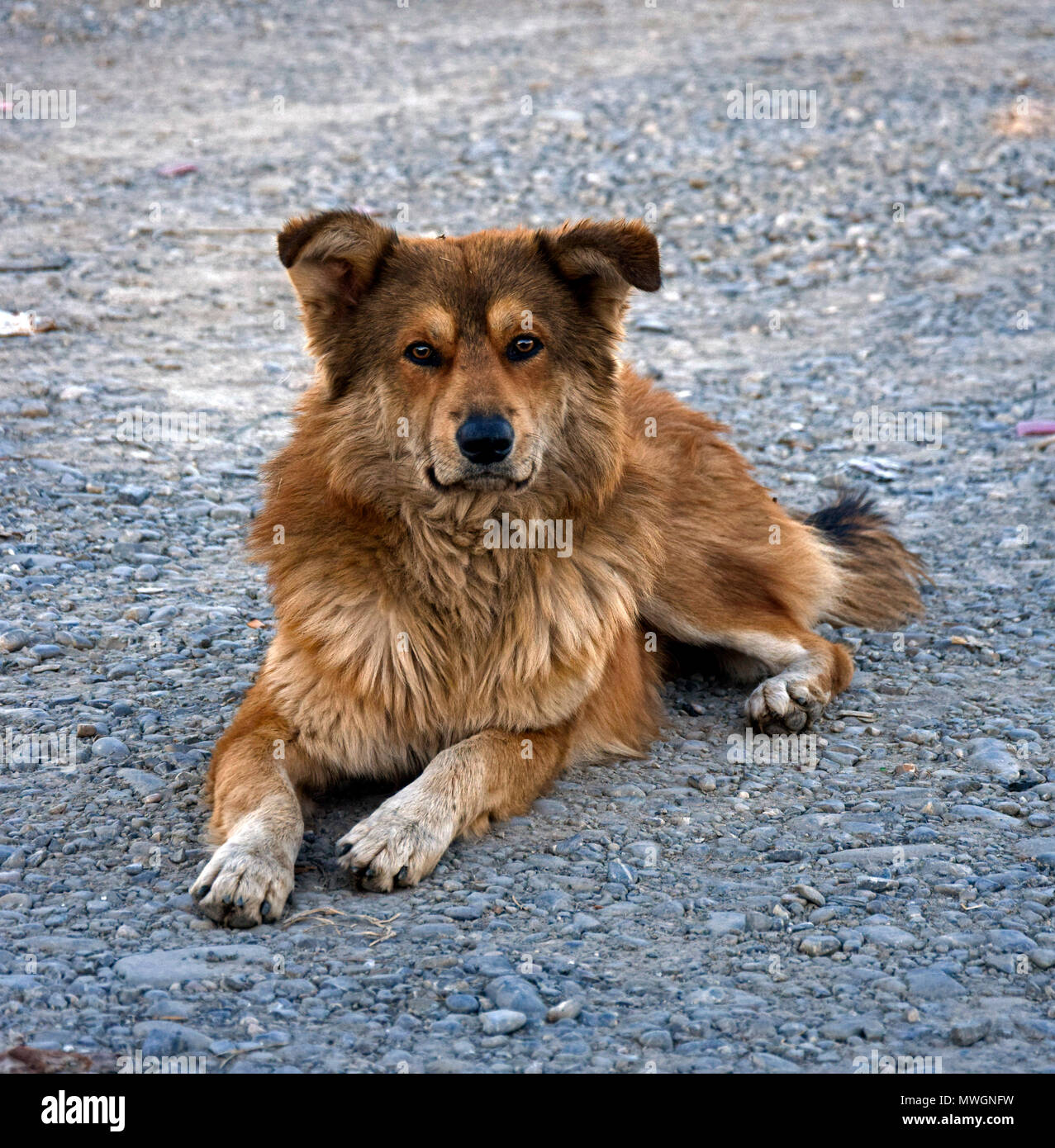 151cb231dc0 Brown watch dog laying on the ground