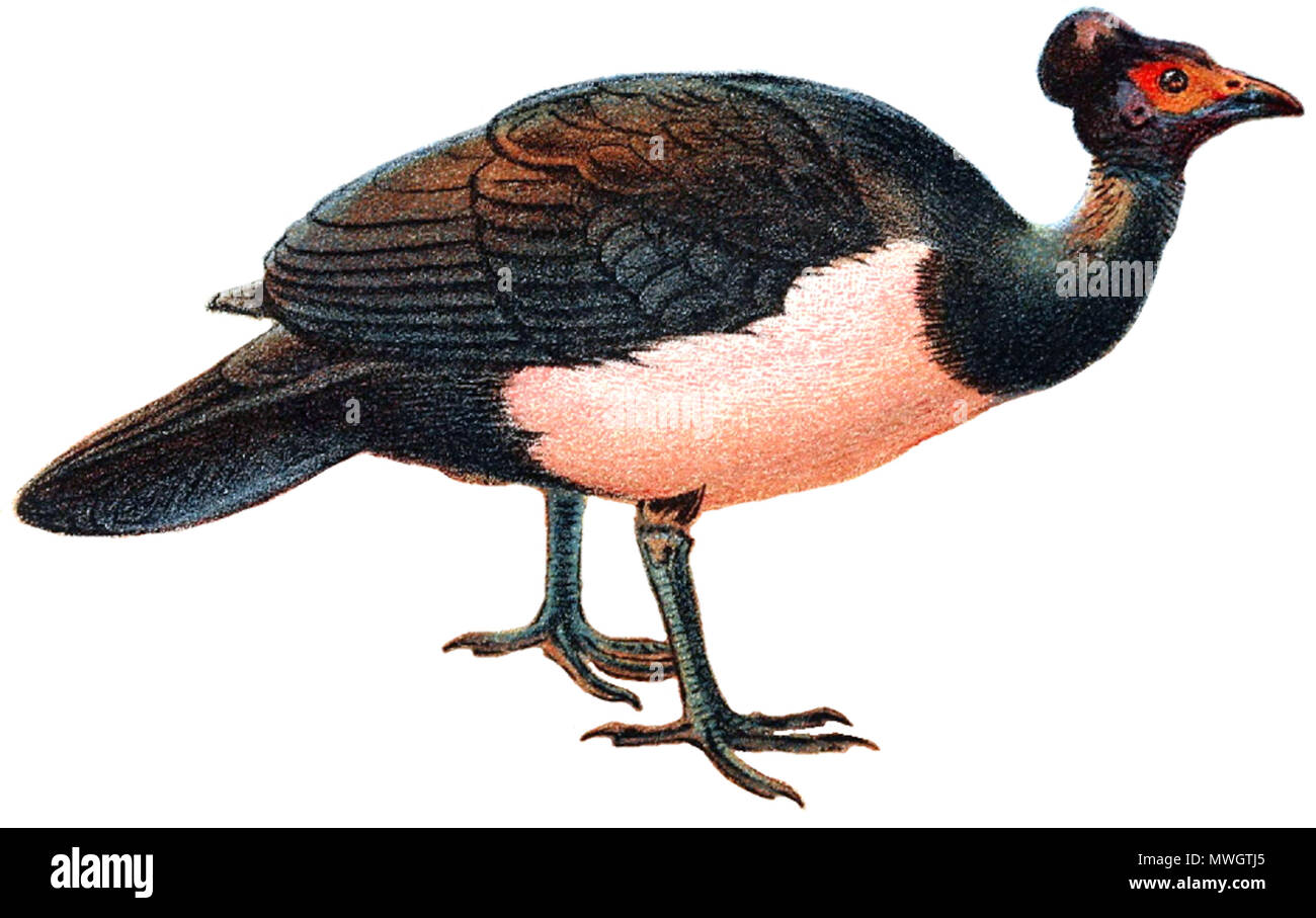 . antique lithograph Print of 'MALEO (Celebes, Sanghir Islands, Indonesia)' published in 1896 for 'Lloyd's Natural History of Game Birds' by W.R.Ogilvie-Grant. Real size of printed area is 5' x 7' (13x18cm). published in 1896. This file is lacking author information. 389 Maleo bird white background - Stock Image