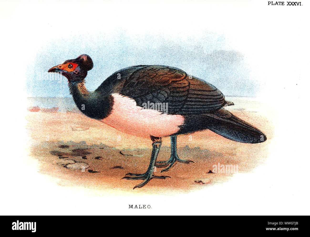 . antique lithograph Print of 'MALEO (Celebes, Sanghir Islands, Indonesia)' published in 1896 for 'Lloyd's Natural History of Game Birds' by W.R.Ogilvie-Grant. Real size of printed area is 5' x 7' (13x18cm). published in 1896. This file is lacking author information. 389 Maleo bird - Stock Image