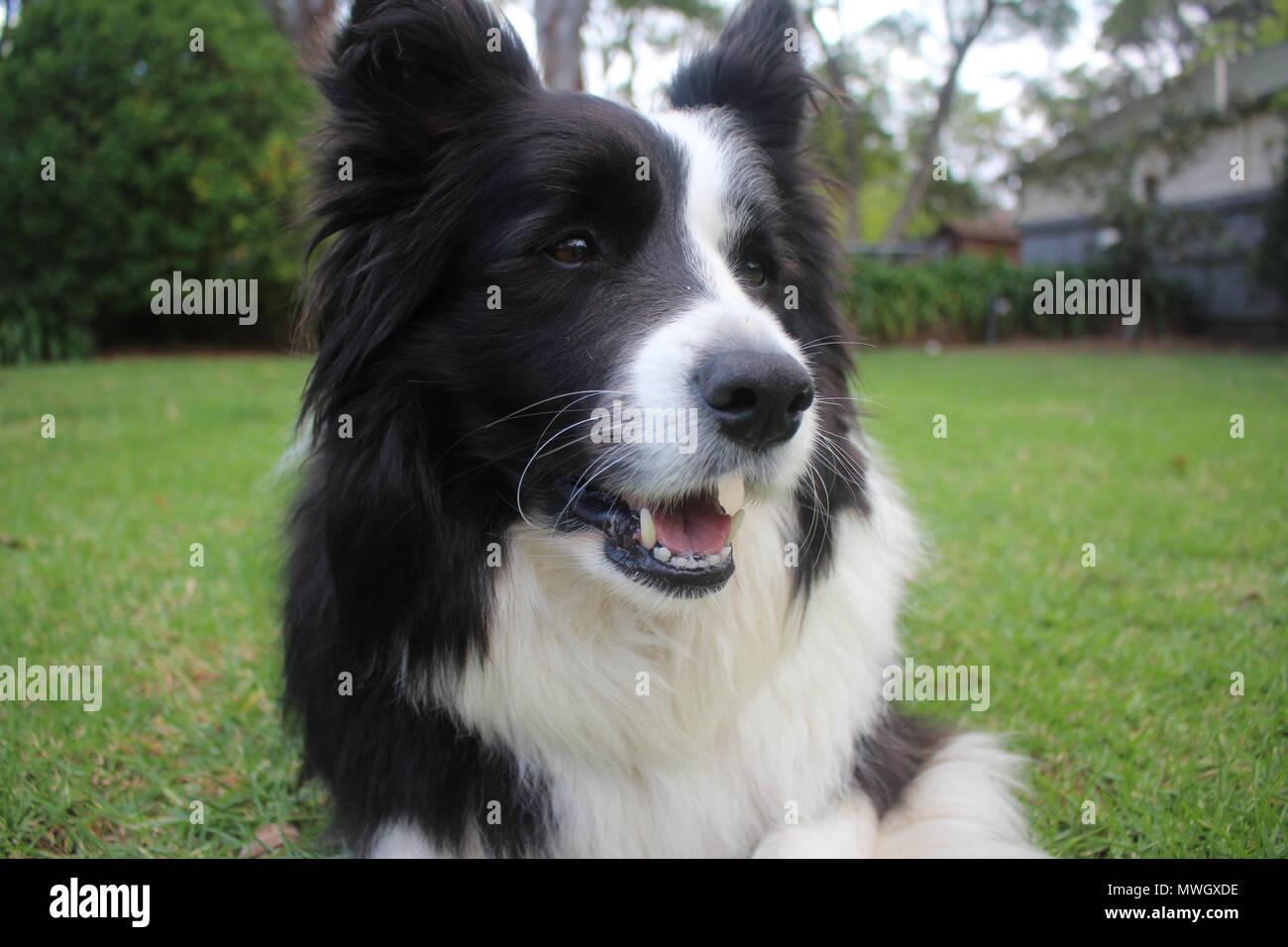 A purebred black and white Border Collie smiling - Stock Image