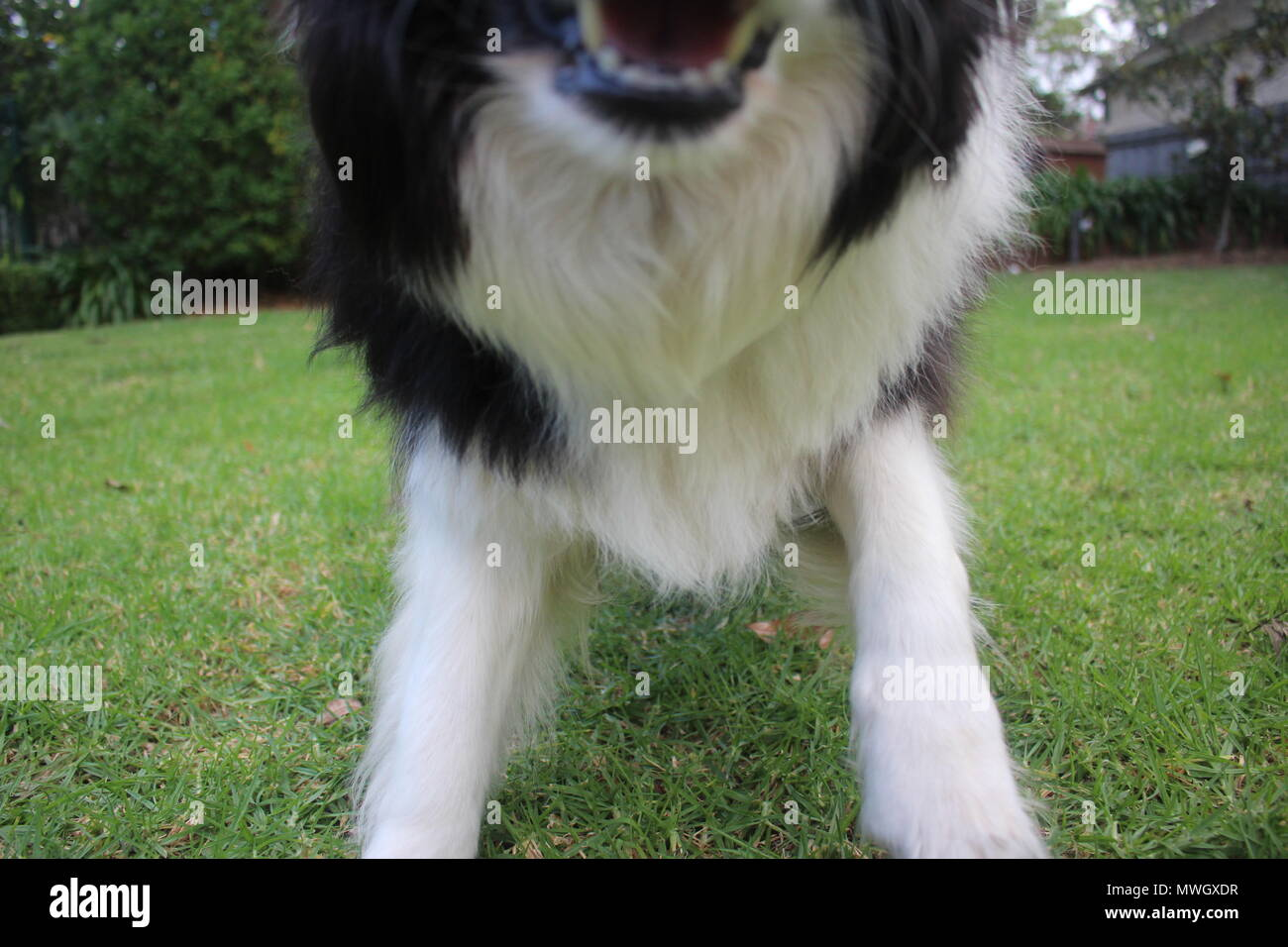 A purebred black and white Border Collie attacking the camera - Stock Image