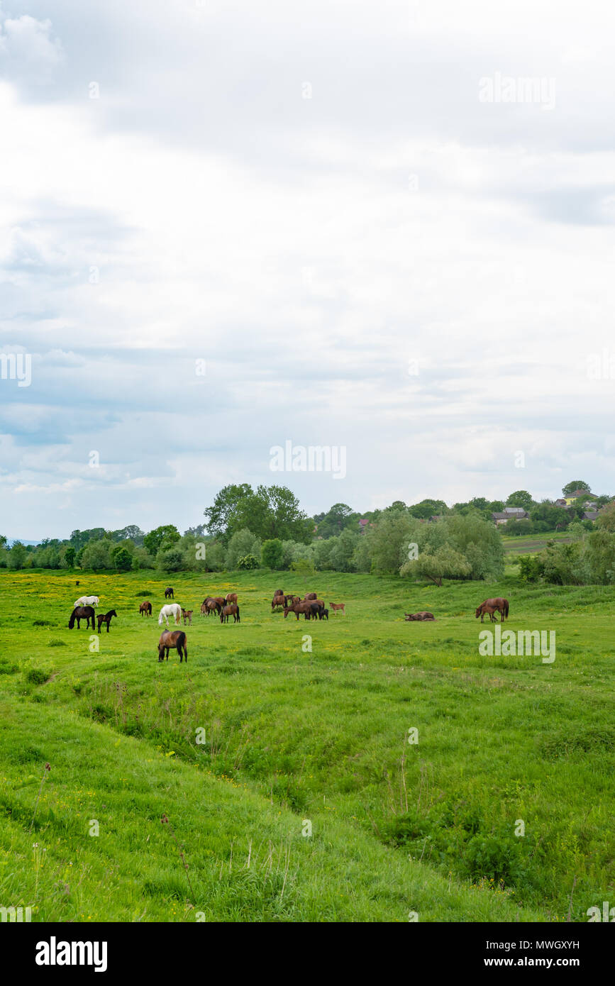 Herd of horses grazing in a meadow. Stories about rural life in Ukraine Stock Photo