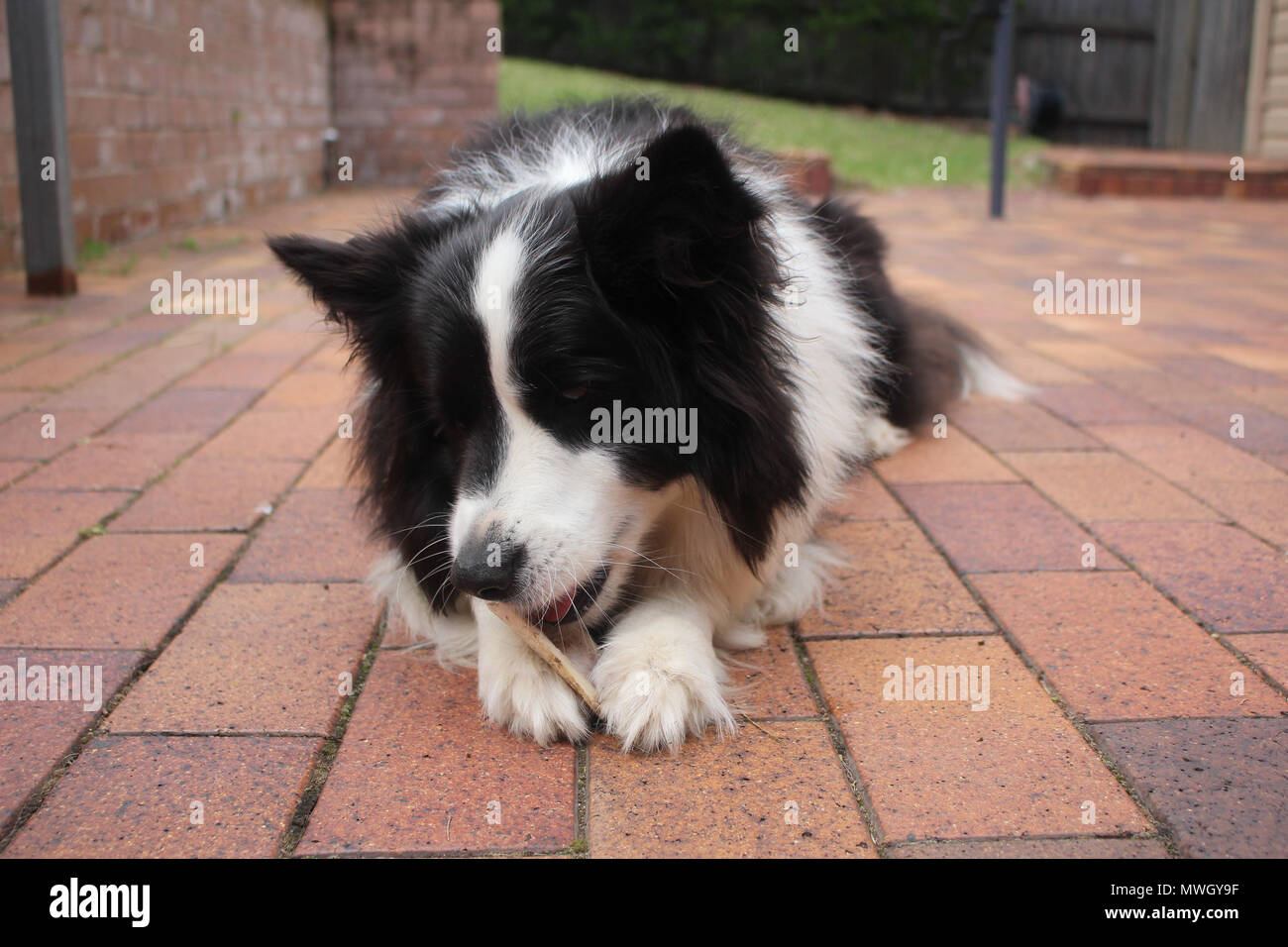 A purebred black and white Border Collie eating a bone Stock Photo
