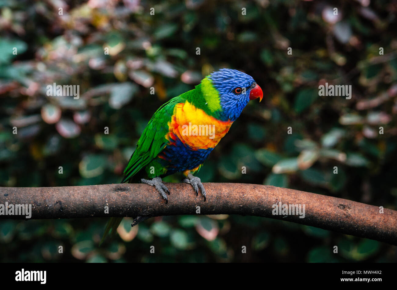 Colorful parrot Lori or Loriinae with blue head sits on branch of tree in forest close up - Stock Image