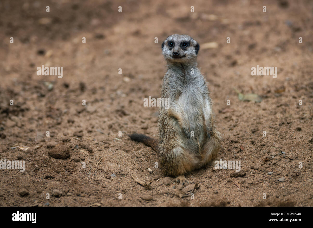 Funny meerkat sits on sand ground for guarding and safety and looks around Stock Photo