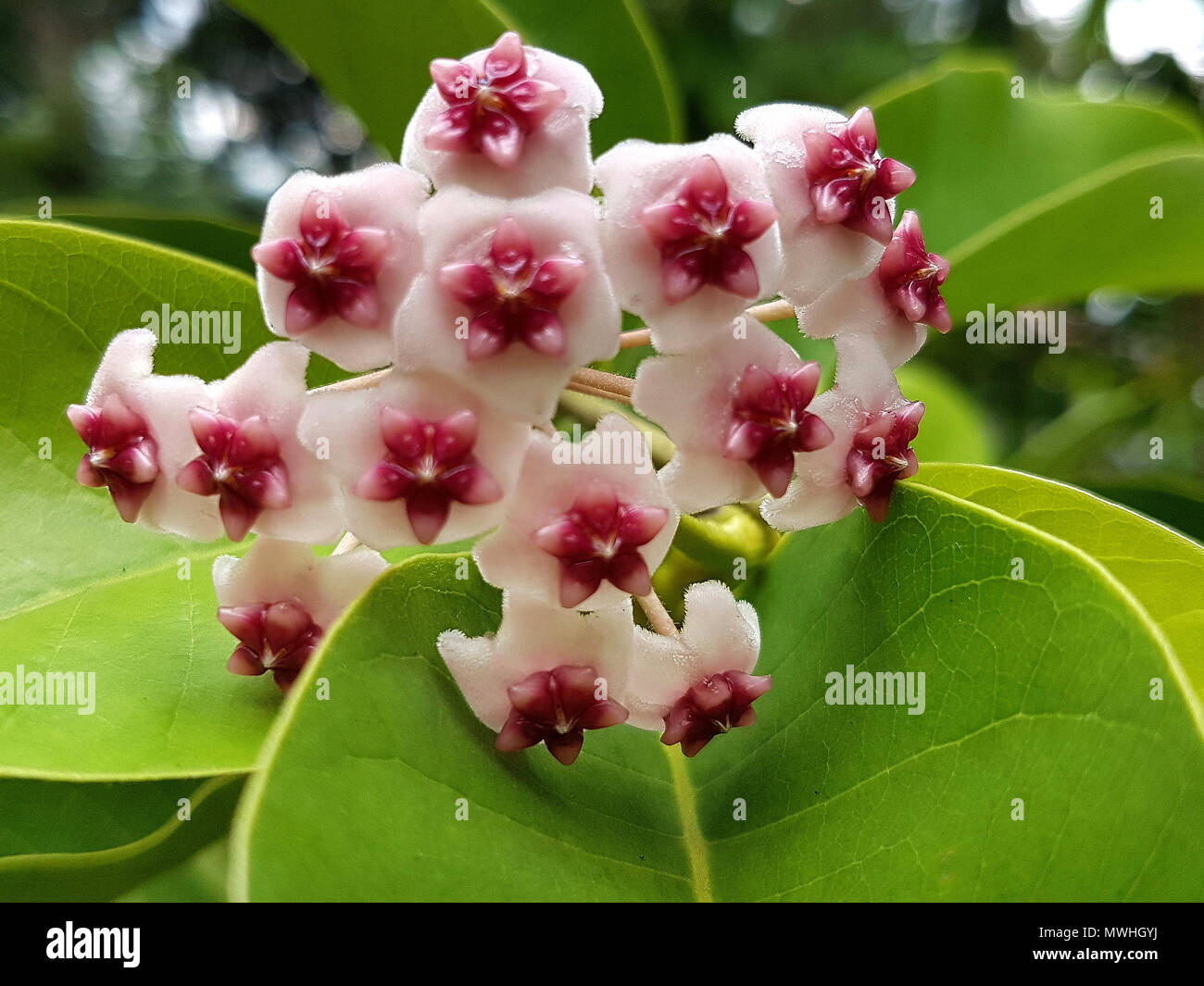 Hoya obovata - Stock Image