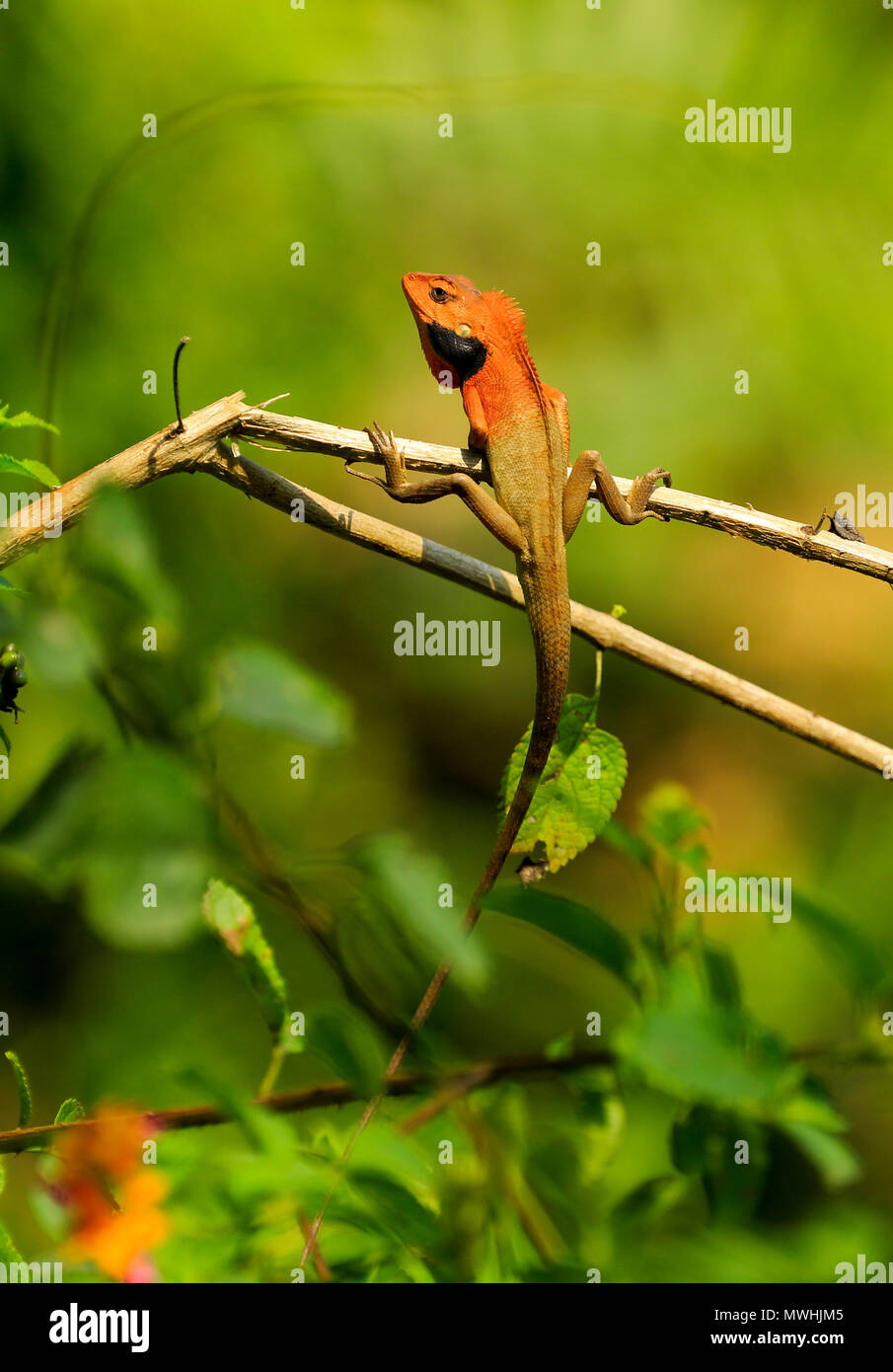 Common garden lizard, eastern garden lizard or changeable lizard (Calotes versicolor), Satchari National Park, Habiganj, Bangladesh - Stock Image