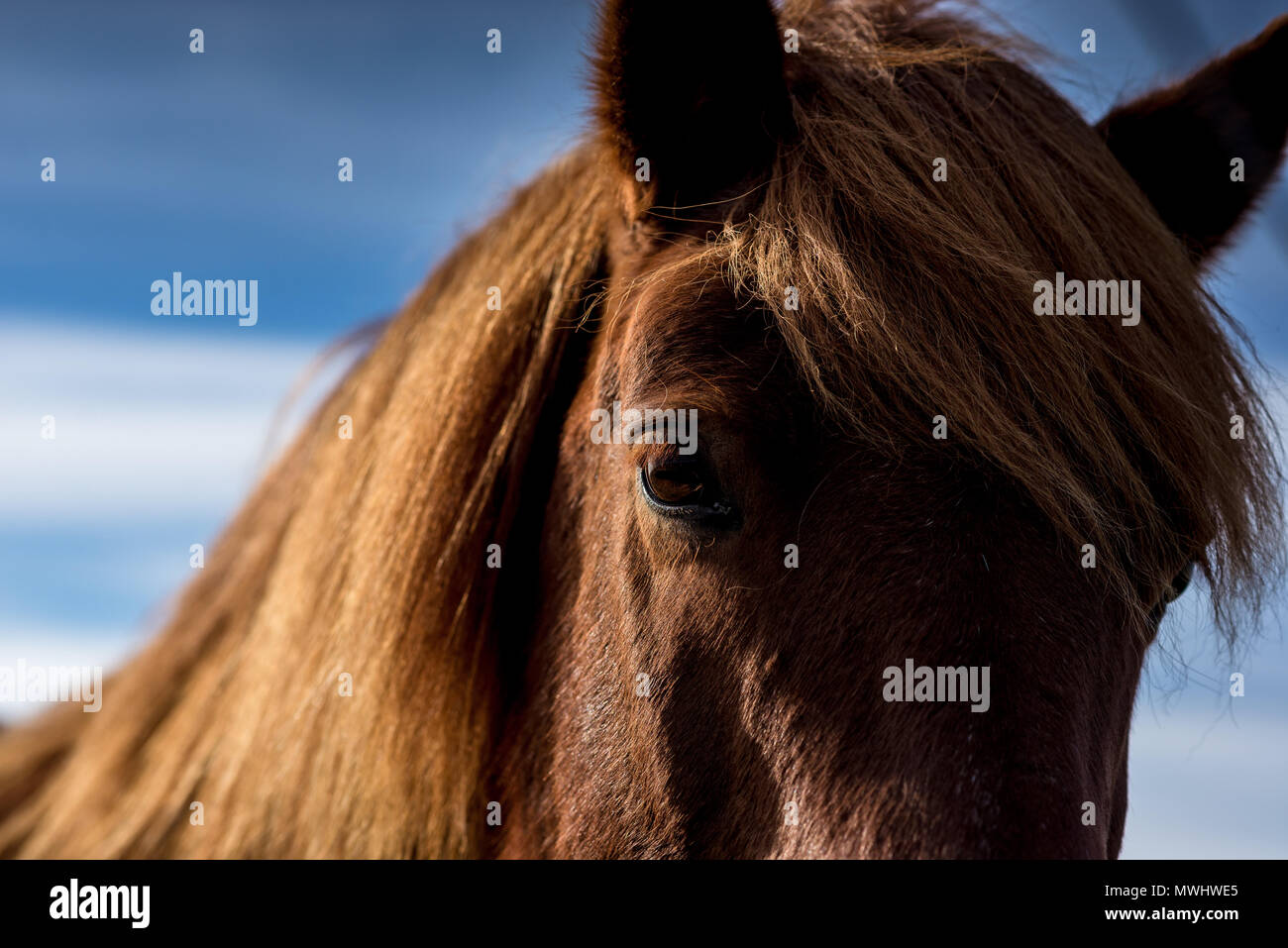icelandic horse on a meadow in southern iceland - Stock Image