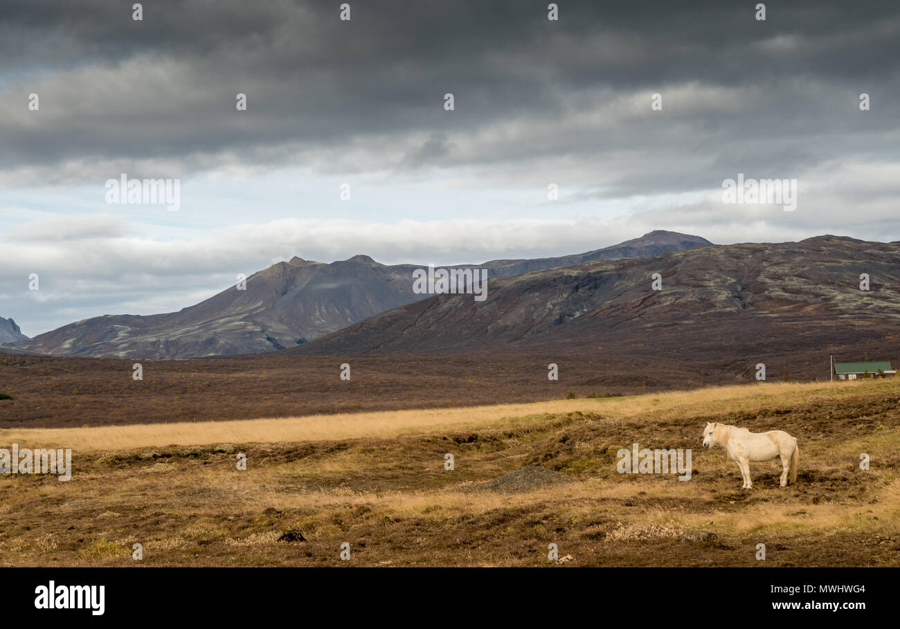 horse in the icelandic highlands - Stock Image