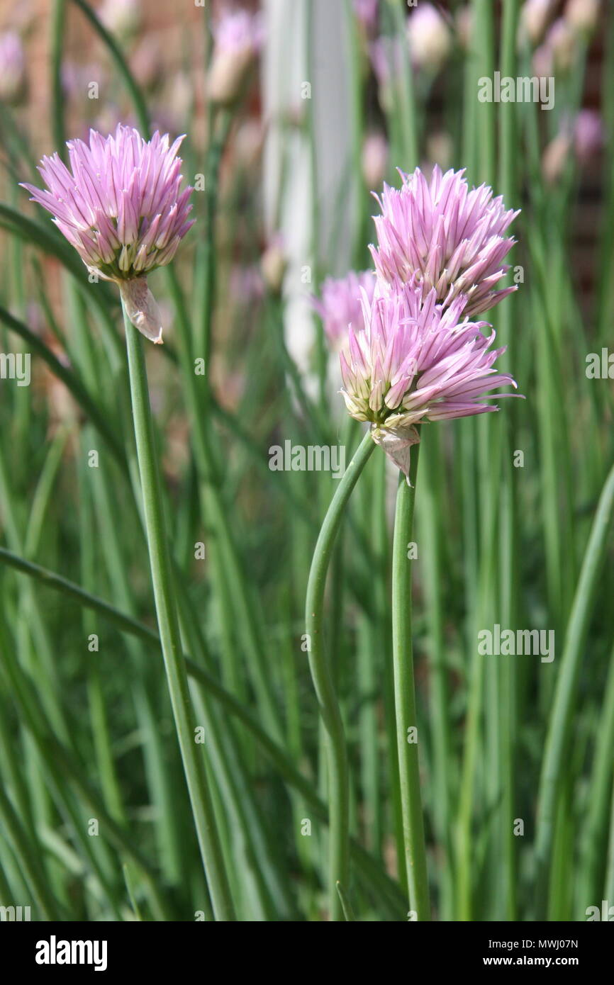 Early Spring Flowering Perennial Chive Plants In Herb Garden 2018