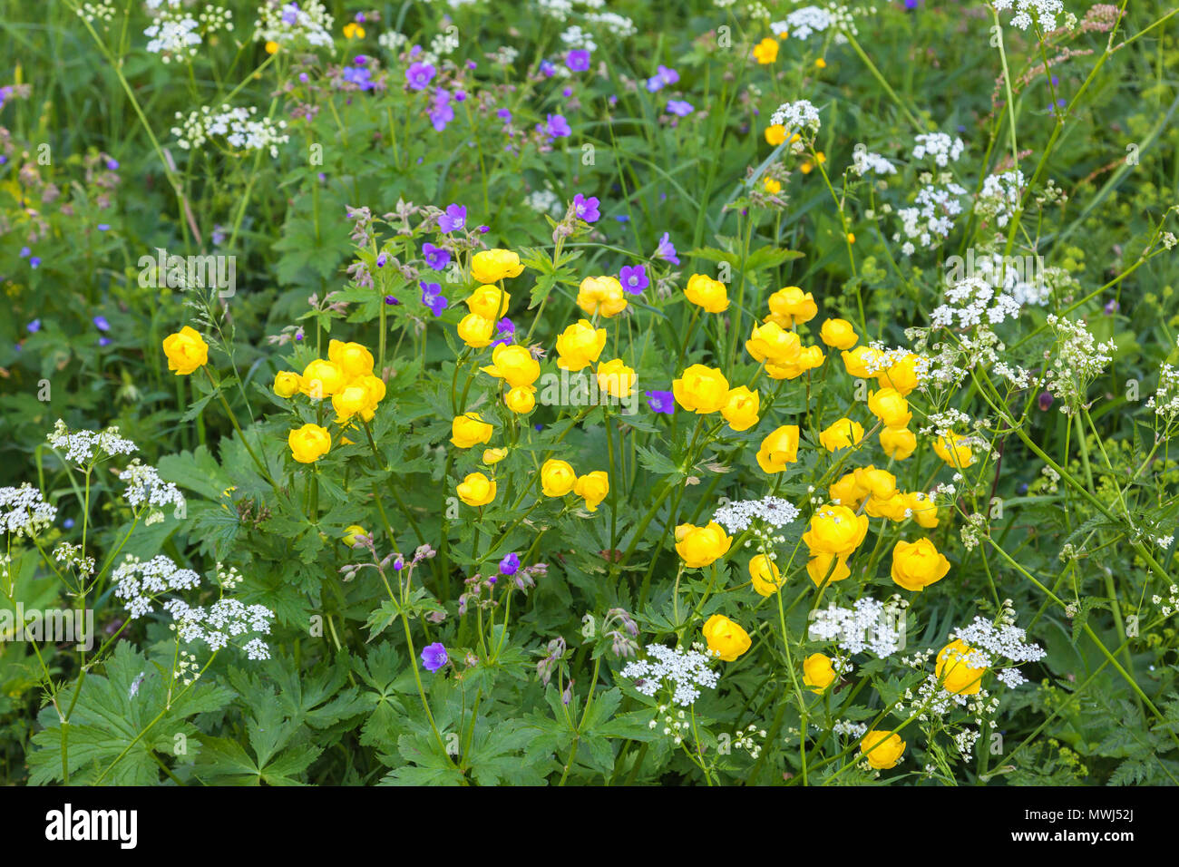 Summer flower on a meadow - Stock Image