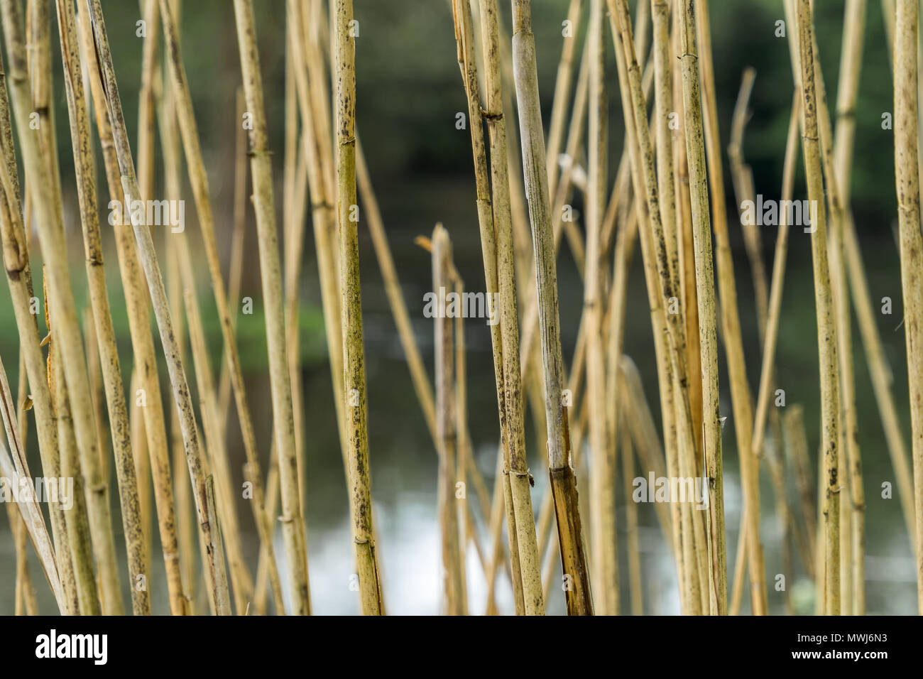 Abstract image with low depth of field of reed stalks at the edge of a stream, background - Stock Image
