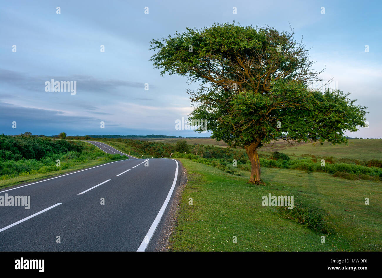 Solitary roadside tree which has been shaped by the prevailing wind New Forest, Hampshire, England, UK. - Stock Image