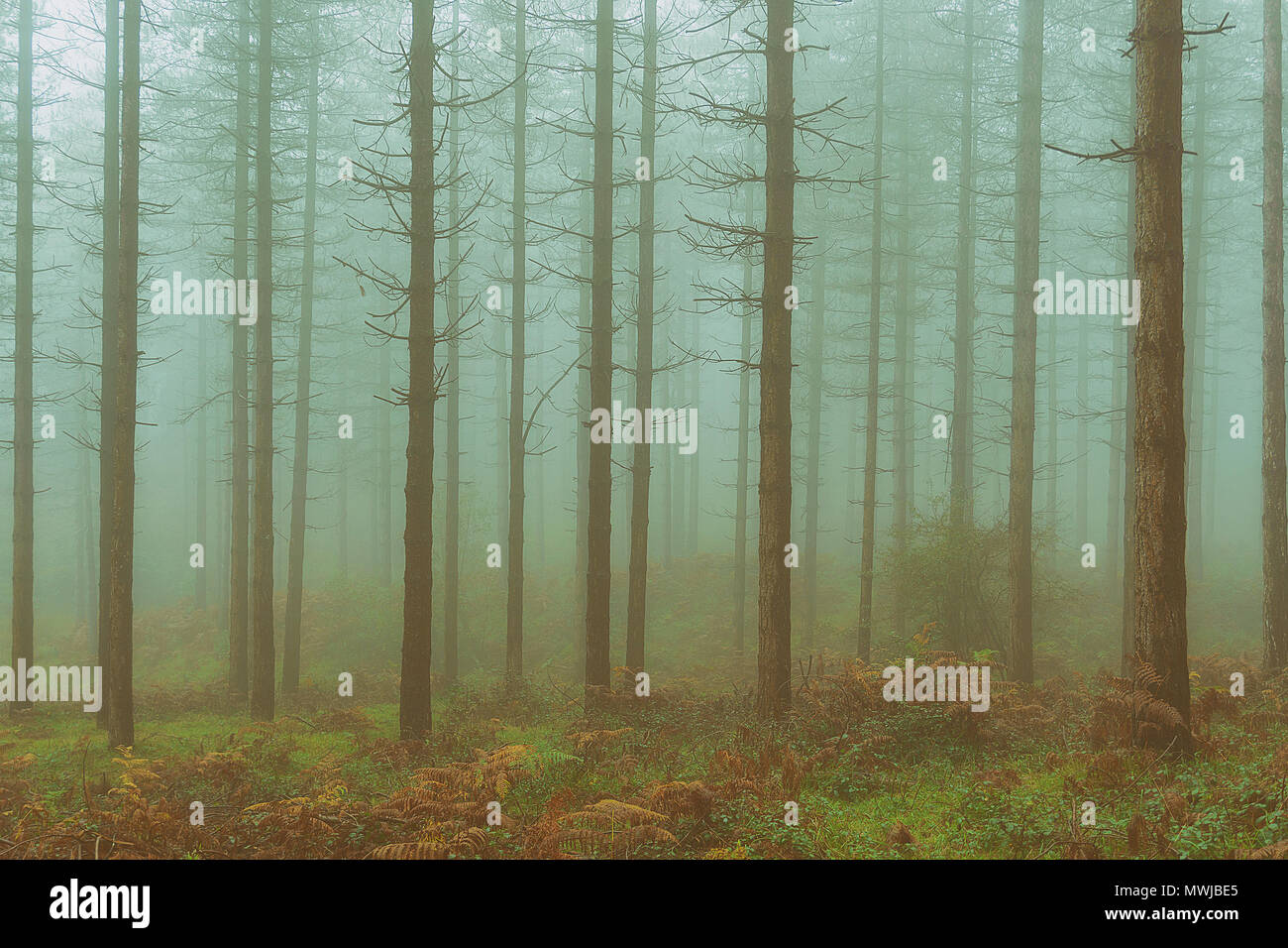 vintage conifer forest with bare tree trunks and fog - Stock Image