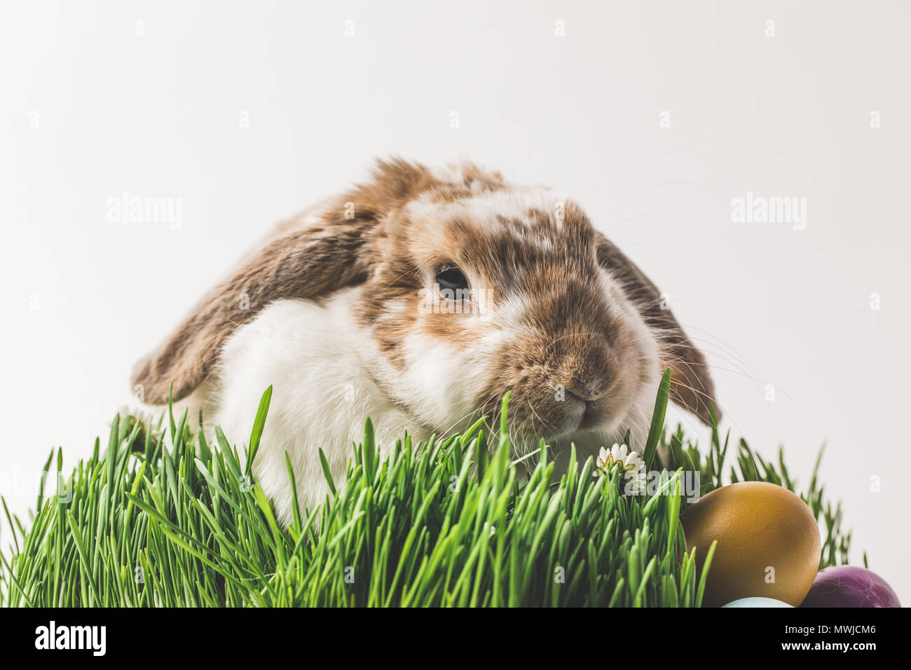 Rabbit sitting in grass with painted in different colors eggs, easter concept - Stock Image