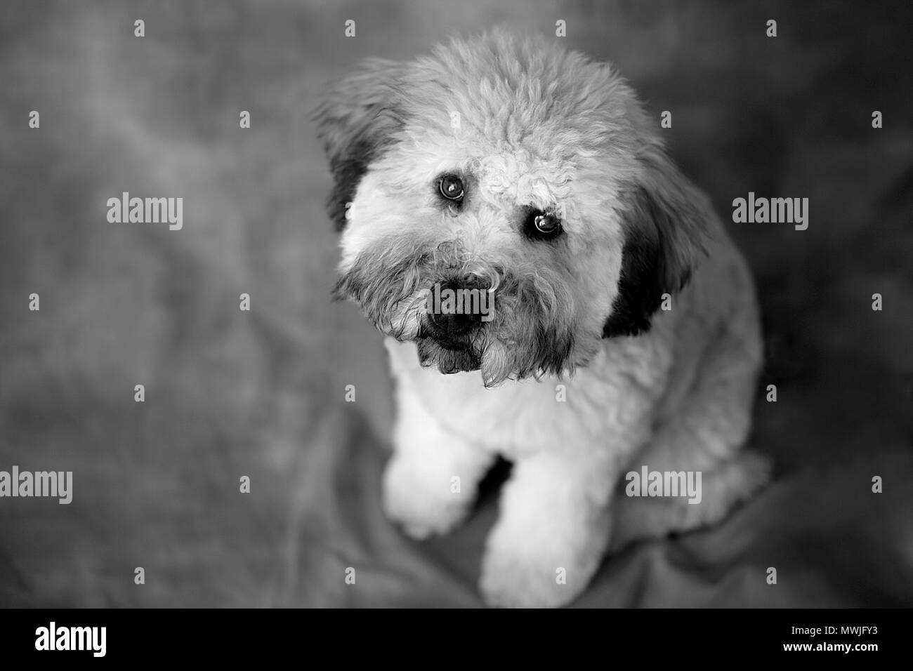Whoodle Puppy Portrait - Stock Image